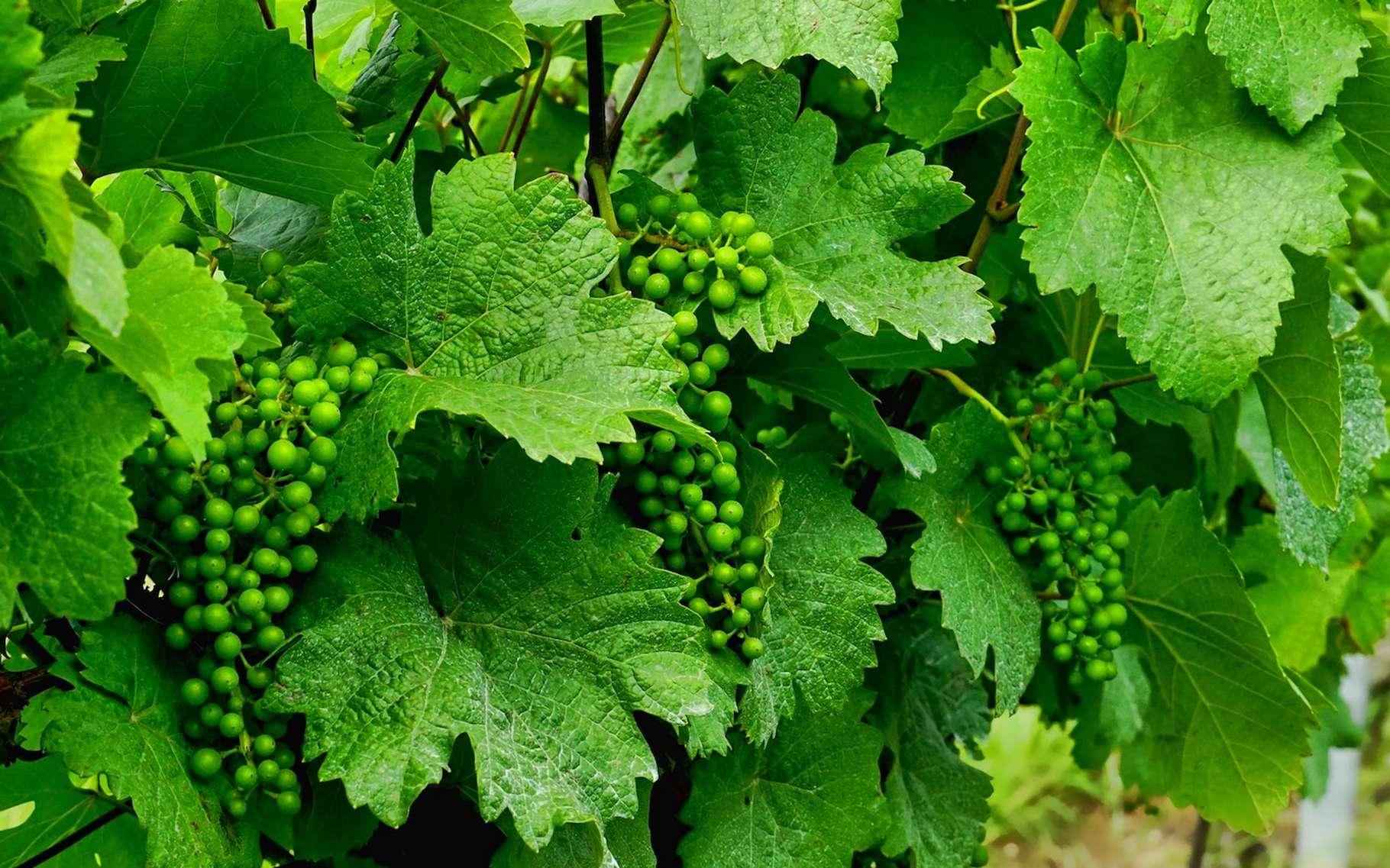 La bouillie bordelaise est un traitement fongicide mis au point pour traiter le mildiou de la vigne. © Schwoaze, Pixabay, CC0 Creative Commons