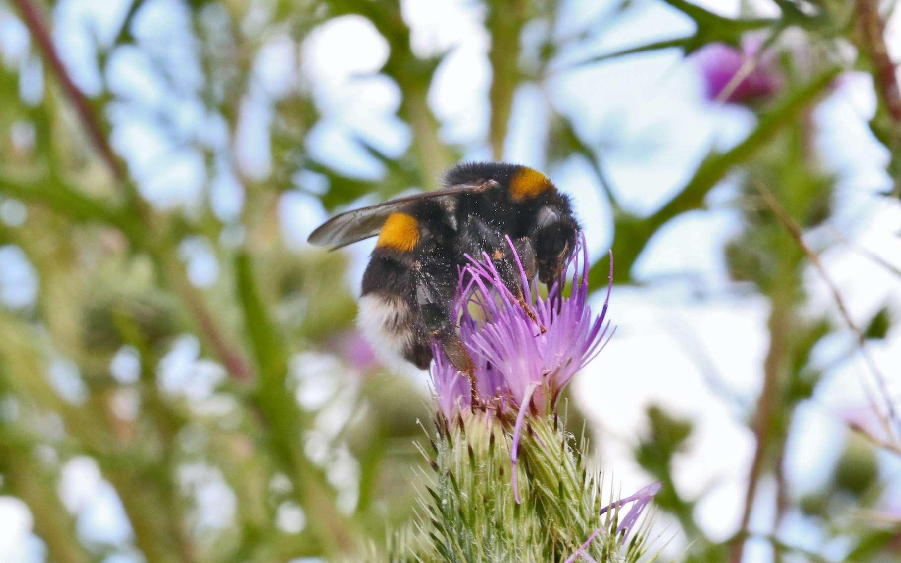 À les voir, comme ça, il n'y parait rien. Pourtant, les abeilles présentent de drôles de capacités cognitives. Une certaine flexibilité intellectuelle, même. Eh oui, pas si bêtes non plus, les abeilles. © LechimEuraled, Adobe Stock