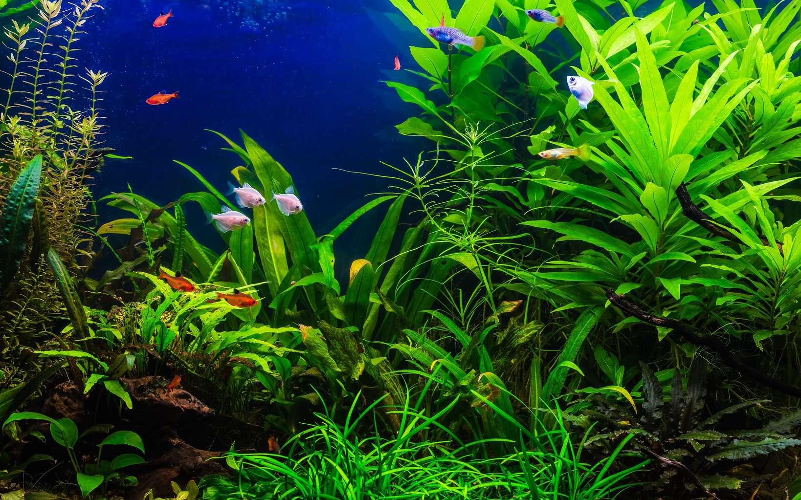 Quelles plantes choisir pour son aquarium d'eau douce ? Les poissons aiment beaucoup, par exemple, se cacher derrière les grandes feuilles de l'Anubia naine, une plante qui demande peu de soins. © bukhta79, fotolia