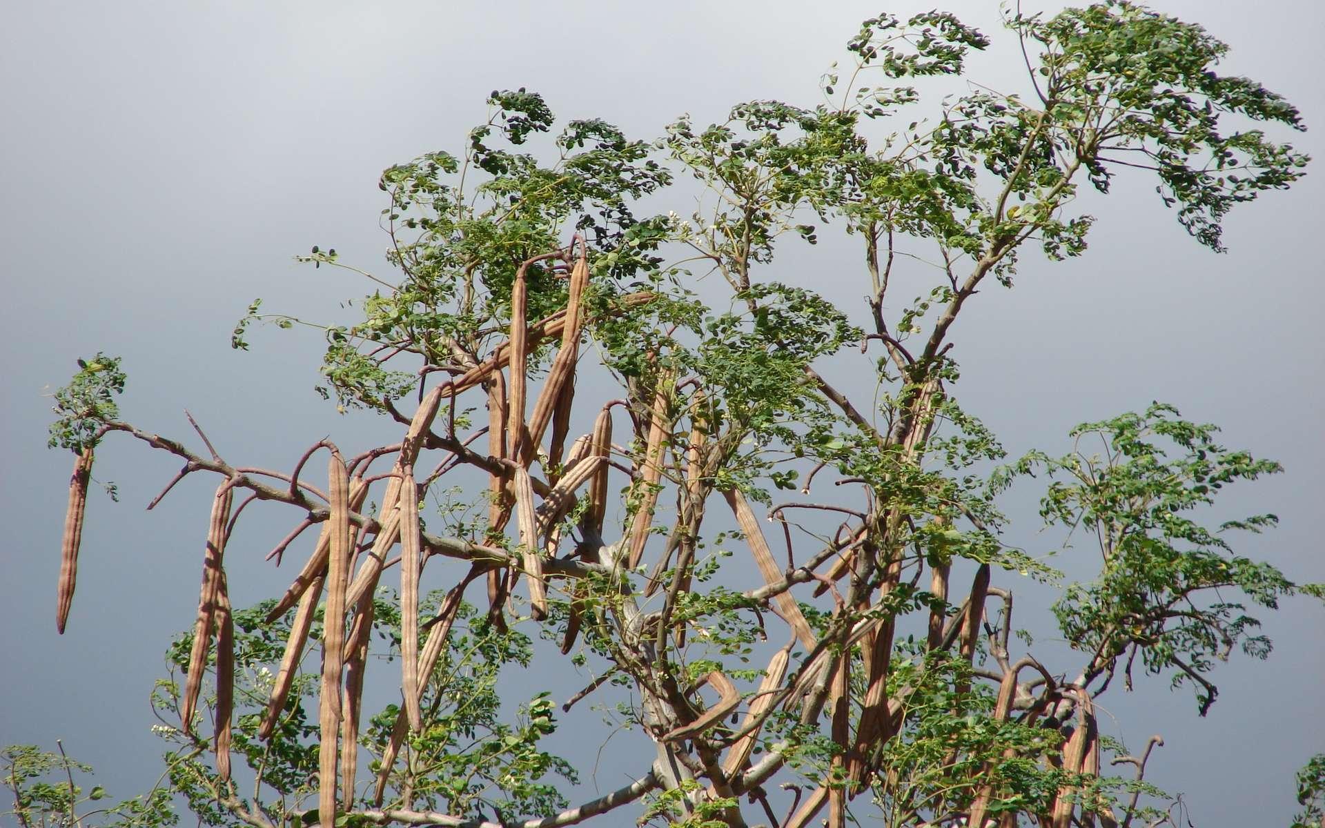La médecine traditionnelle affirme que le moringa soigne 300 maladies ! © Forest & Kim Starr, CC by 3.0