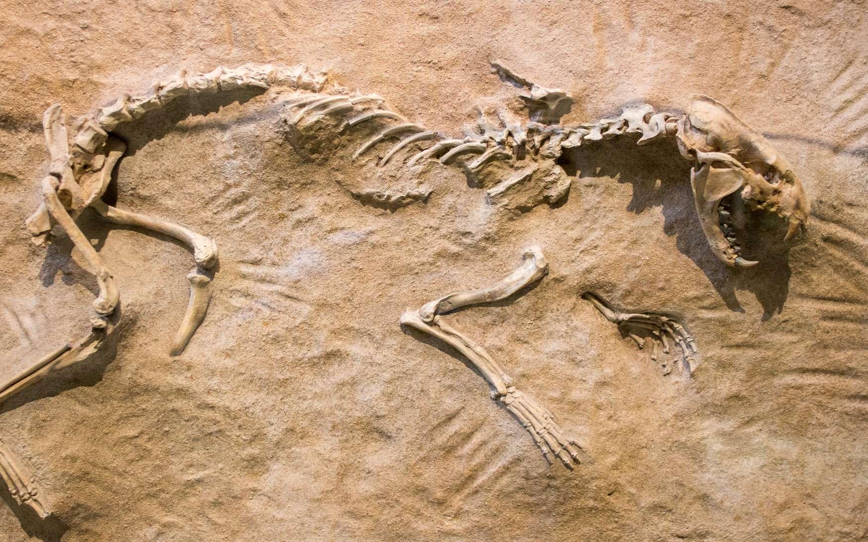 Exemple de squelette d'animal préhistorique fossilisé dans la roche. Le paléontologue fera une analyse ADN sur les fragments d'os afin de connaître l'espèce et son histoire. © marls, Fotolia.