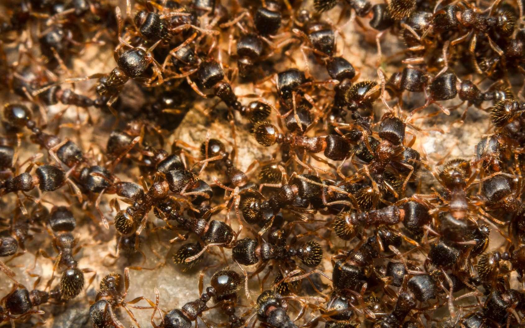 Les fourmis peuvent être opportunistes et s'adapter à leur environnement. Pour la nourriture aussi. © Ezume Images, Fotolia