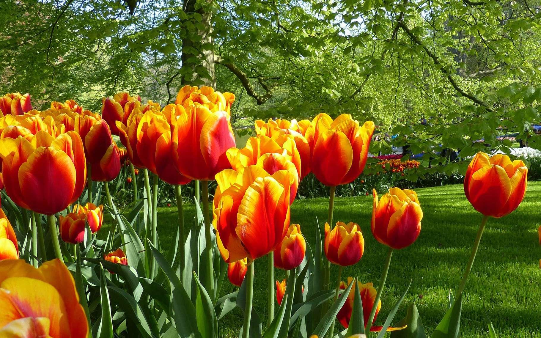 Champ de tulipes au Jardin de Keukenhof, Hollande. © Jovanel, Pixabay, Domaine Public