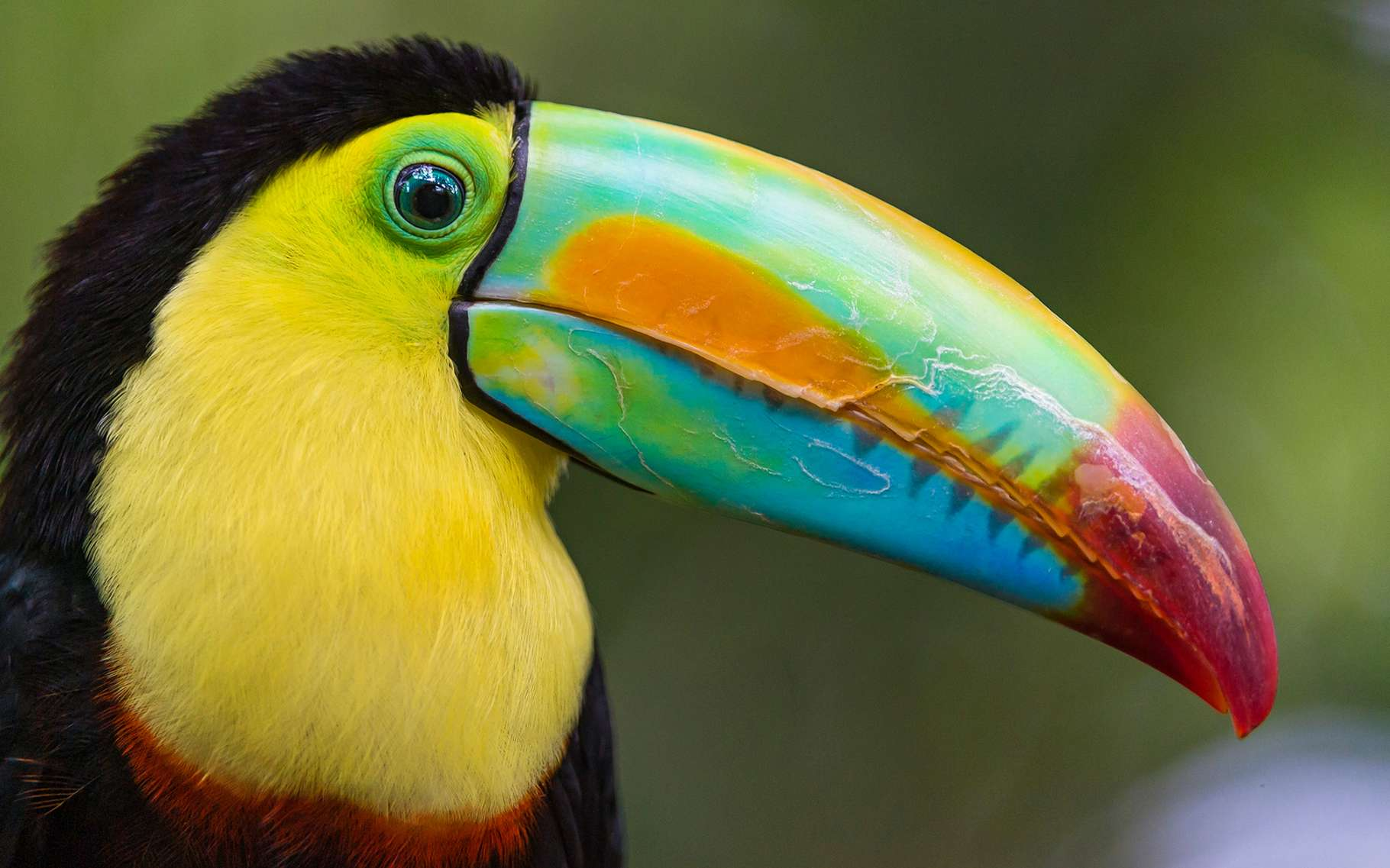 Les toucans de Guyane sont de bien drôles d'oiseaux. © DR