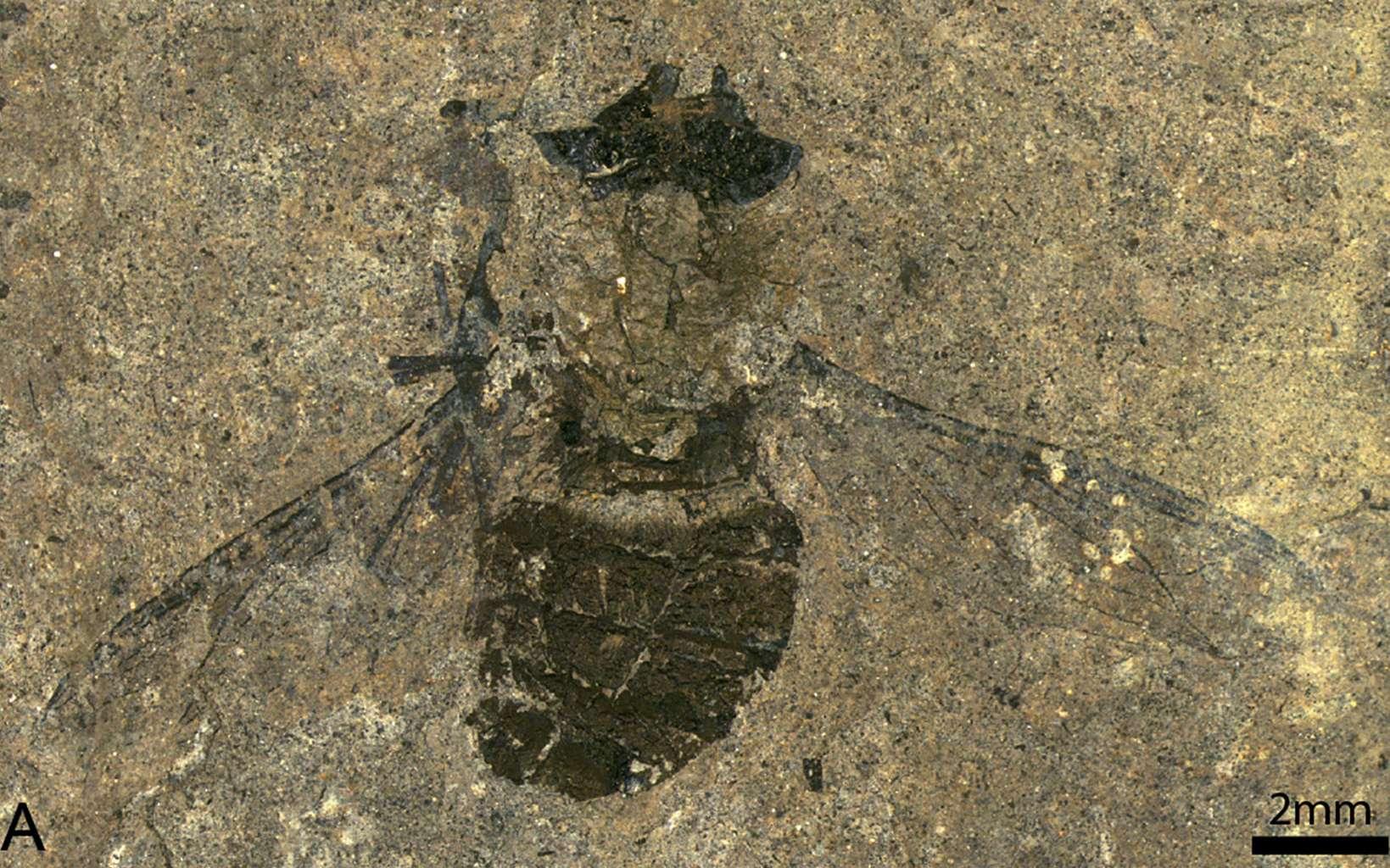 Une mouche Hirmoneura messelen datant de 47 millions d'années. © Sonja Wedmann et al., Current Biology, 2021