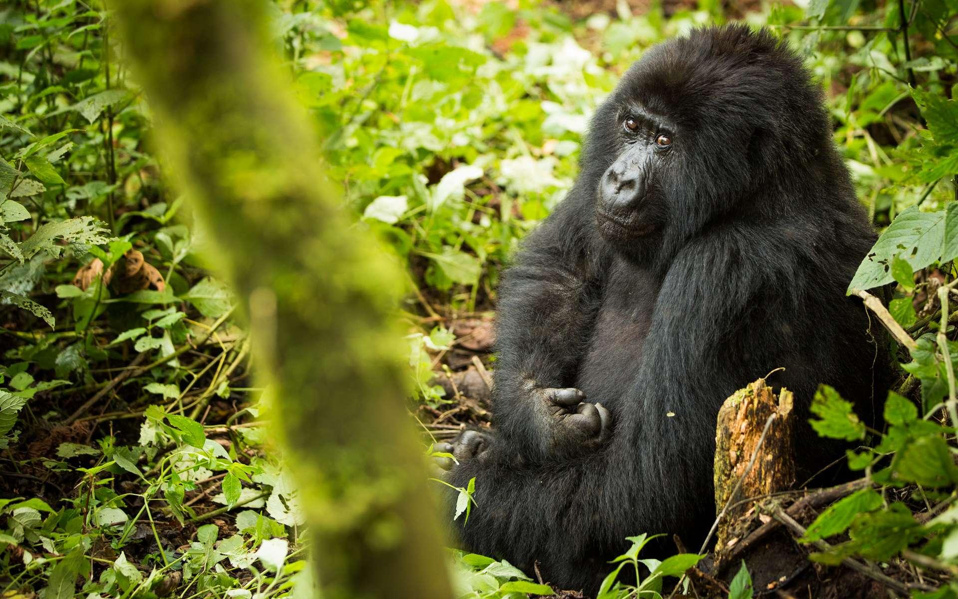 Un éclair tue 4 gorilles des montagnes en Ouganda