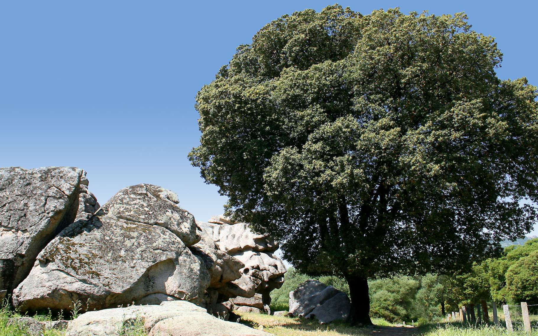 Le chêne vert fait partie de la famille des fagacées. © Bambo, Flickr CC by nc sa 2.0