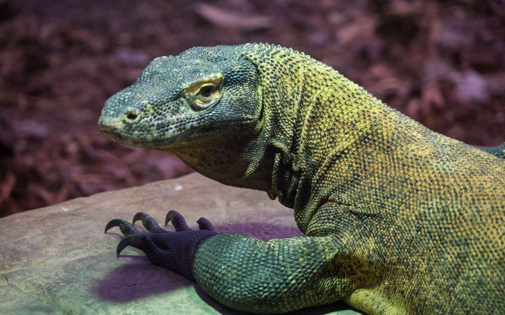 Le dragon de Komodo, un des plus grands sauriens actuels. © Rob Osborne, Flickr