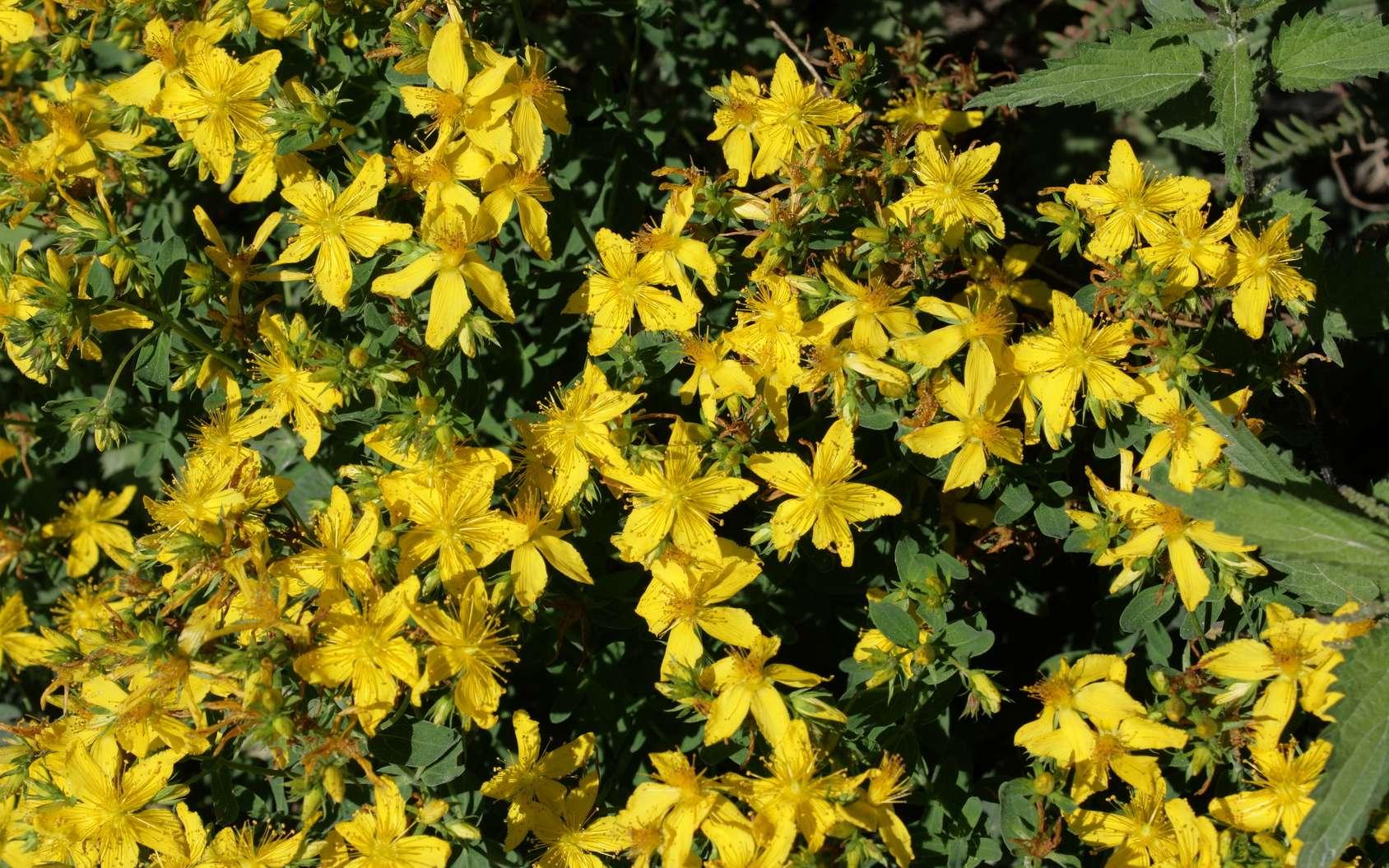 Le millepertuis, une plante à utiliser avec précaution. © arenysam, fotolia