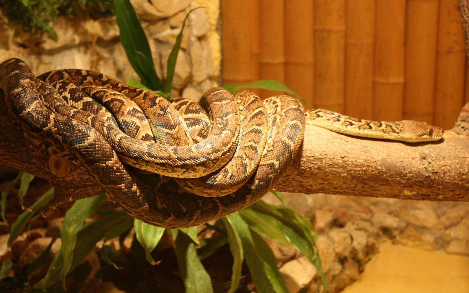 Le boa de Cuba est également appelé Chilabothrus angulifer. Il mesure jusqu'à 4 mètres de long pour un poids pouvant avoisiner les 30 kg. Selon une étude américaine, il aurait mis en place une technique de chasse basée sur la coordination des positions des «membres d'un groupe». © Bardrock, Wikipedia, Domaine public