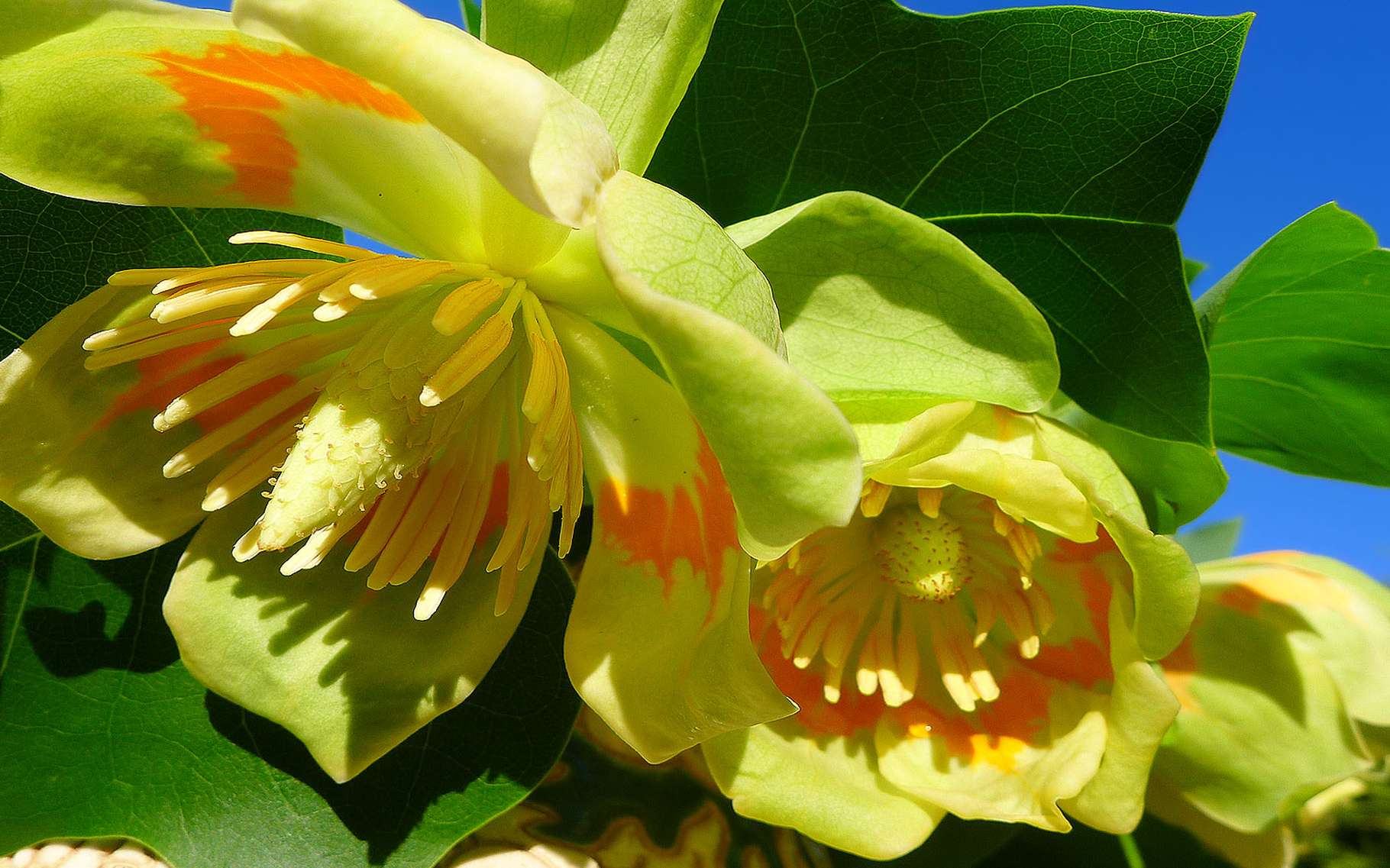 Meise (Belgique), Jardin national botanique de Belgique - Liriodendron tulipifera - Tulipier de Virginie. © Jean-Pol Grandmont, Creative Commons Attribution-Share Alike 2.5 Generic license