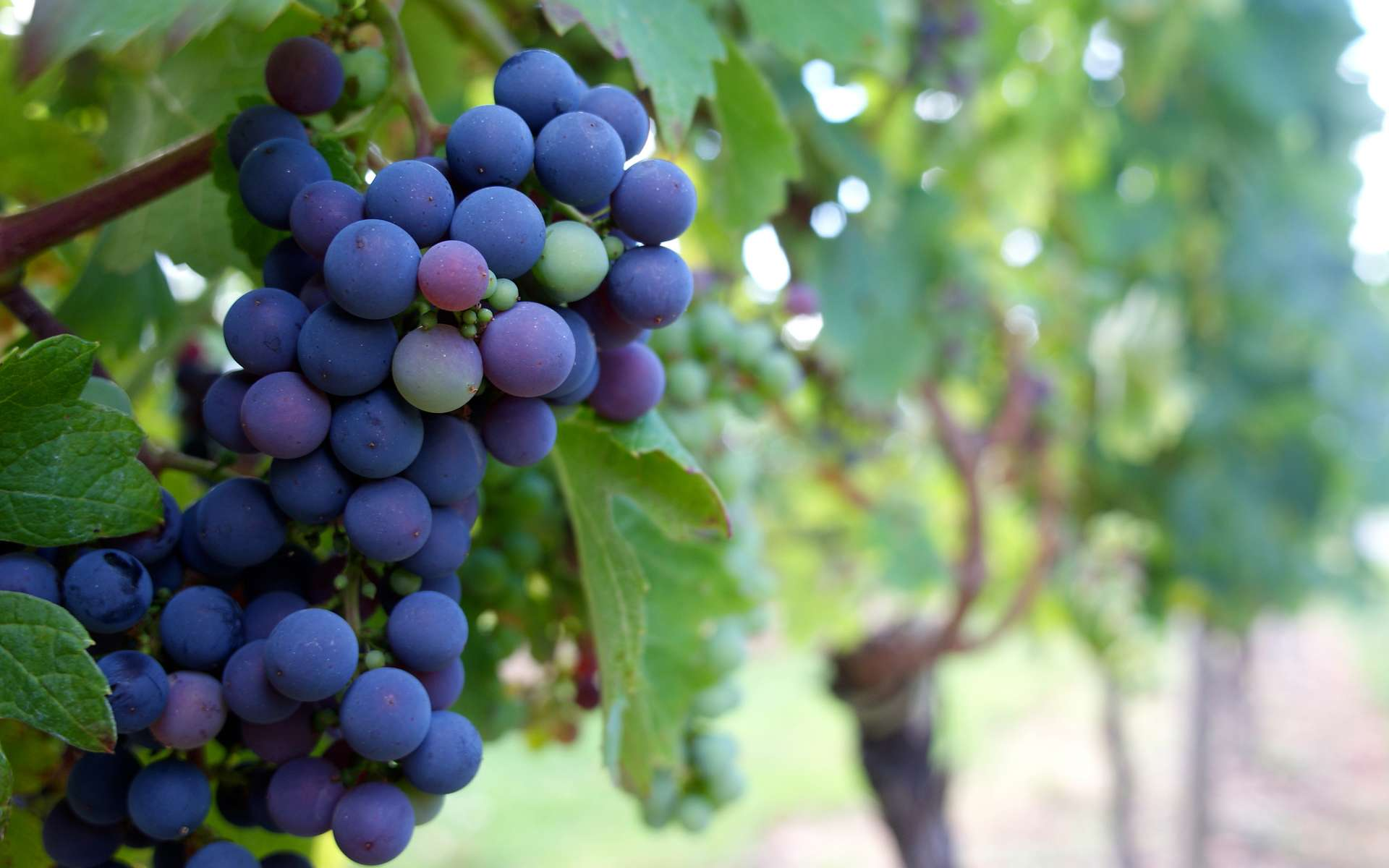 Les raisins sans pépin – qui ne sont pas vraiment sans pépin – sont obtenus par hybridation de plants de vigne puis par multiplication végétative. © GUERIN Henri, Flickr, CC by 2.0