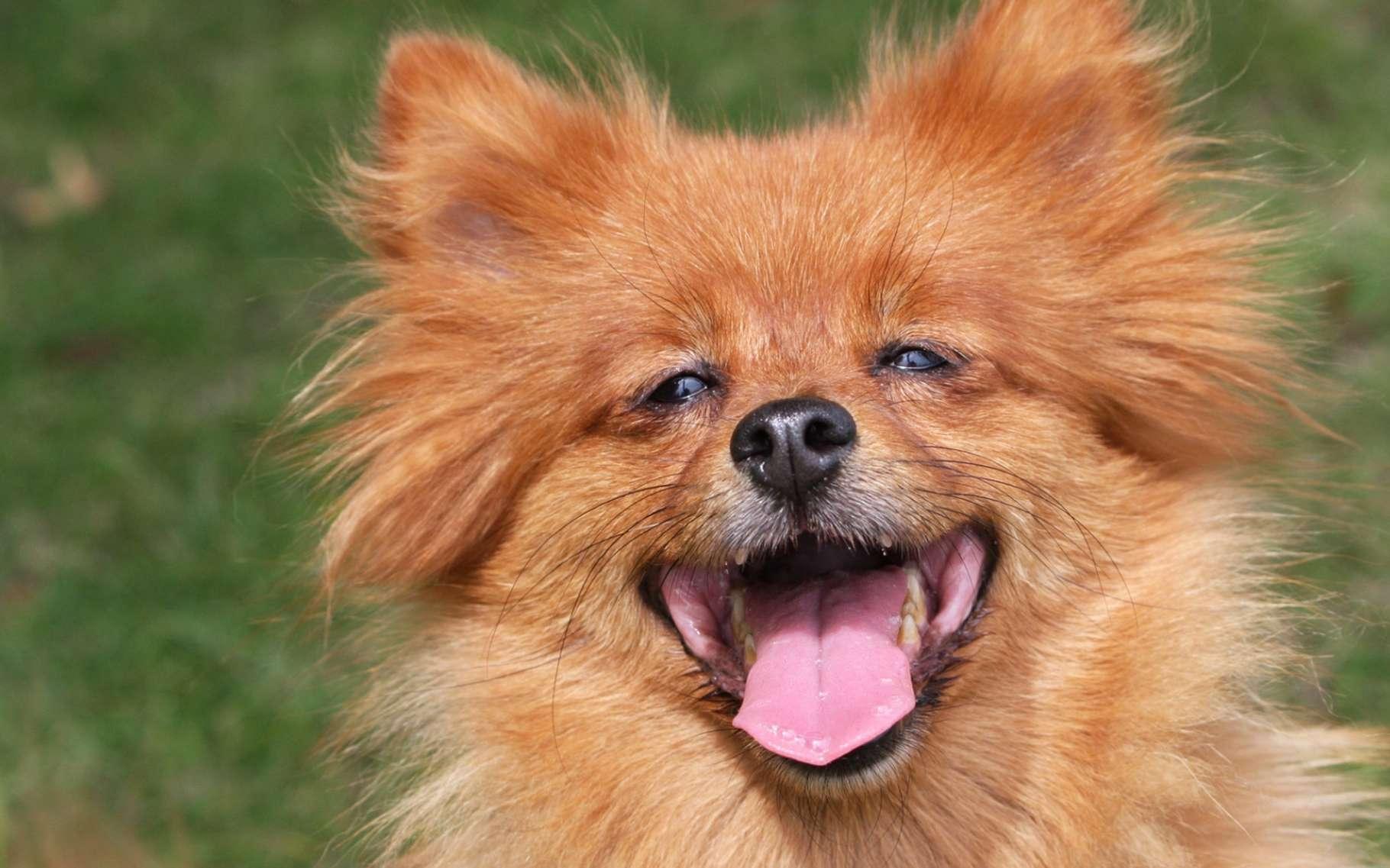 Une partie des spécialistes pensent que tous les mammifères pourraient être dotés du sens de l'humour. Les chiens riraient dans certaines occasions. © Karen Arnold, domaine public