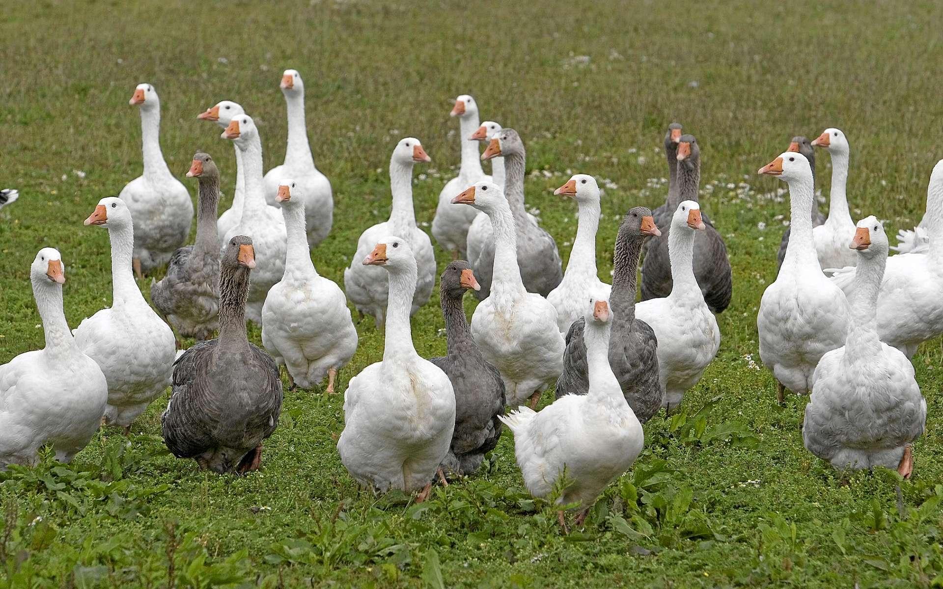 Malgré les mesures prises depuis plusieurs mois, l'épizootie de grippe aviaire est toujours présente dans le sud-ouest de la France. © Bildagentur Zoonar GmbH, Shutterstock