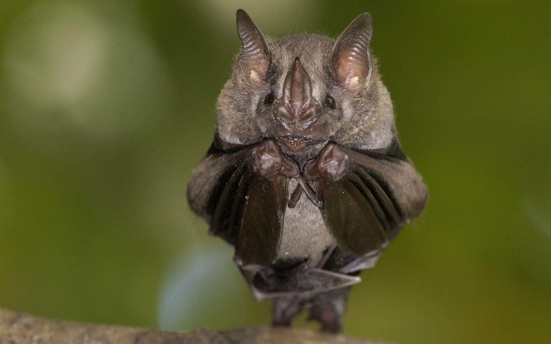 Les chauves-souris n'ont pas forcément bonne presse. Pourtant, elles rendent de fiers services aux écosystèmes. Les chercheurs nous apprennent aussi que leurs comportements peuvent être complexes. Et qu'elles ne sont… pas si bêtes ! © amskad, Adobe Stock