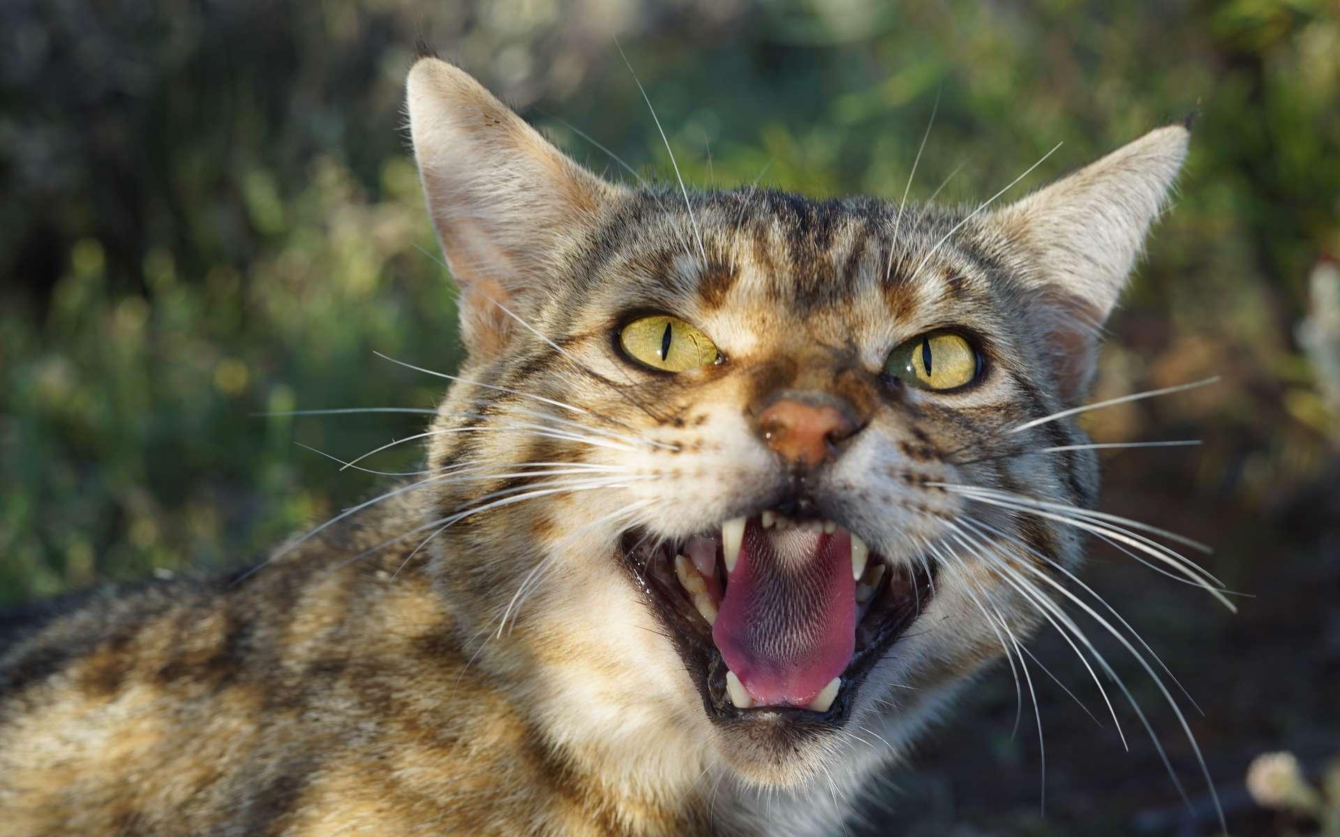 Le chat sauvage est une espèce invasive de l'Australie. © Hugh McGregor, Arid Recovery