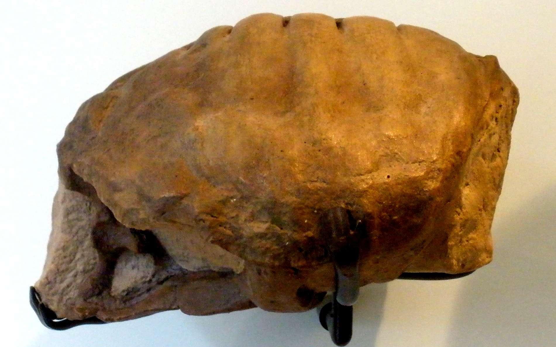 Proterochersis robusta : c'est le premier (et jusqu'alors l'unique) fossile de tortue découvert au XIXe siècle en Allemagne daté du Trias. © Wikipédia