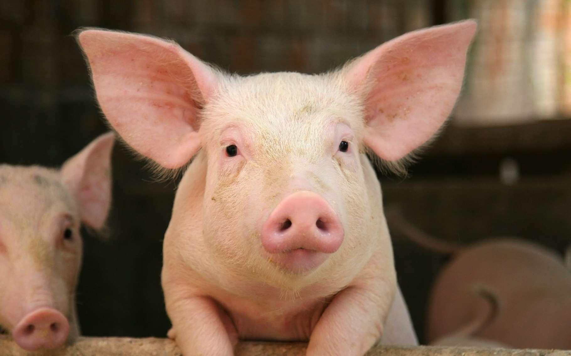 Des chercheurs de l'université Purdue (États-Unis) ont appris à des cochons à jouer à des jeux vidéo. © Simone van den Berg, Adobe Stock