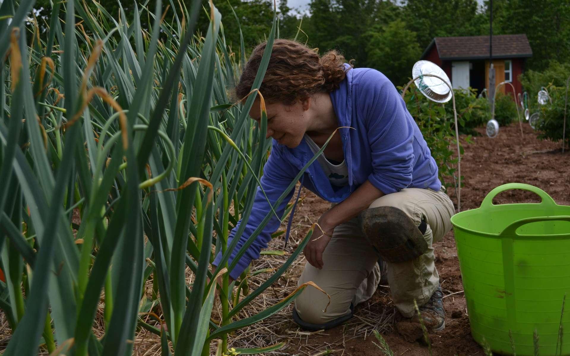 Le désherbage à la main de plants d'ail. © WordPress.com