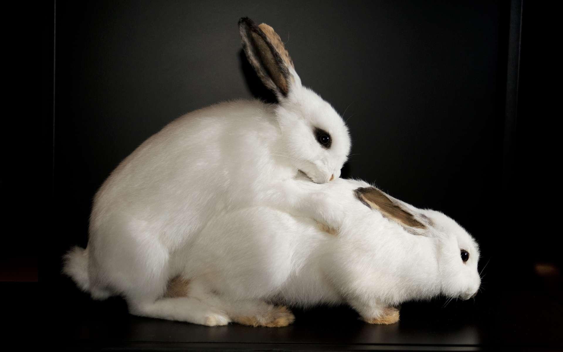 Le lapin est un peu le symbole des débordements de la sexualité animale. Très portés sur la chose, les mâles se jettent sans distinction sur les femelles à leur portée. Même si c'est leur mère ou leur sœur... © Sexual Nature, London's Natural History Museum