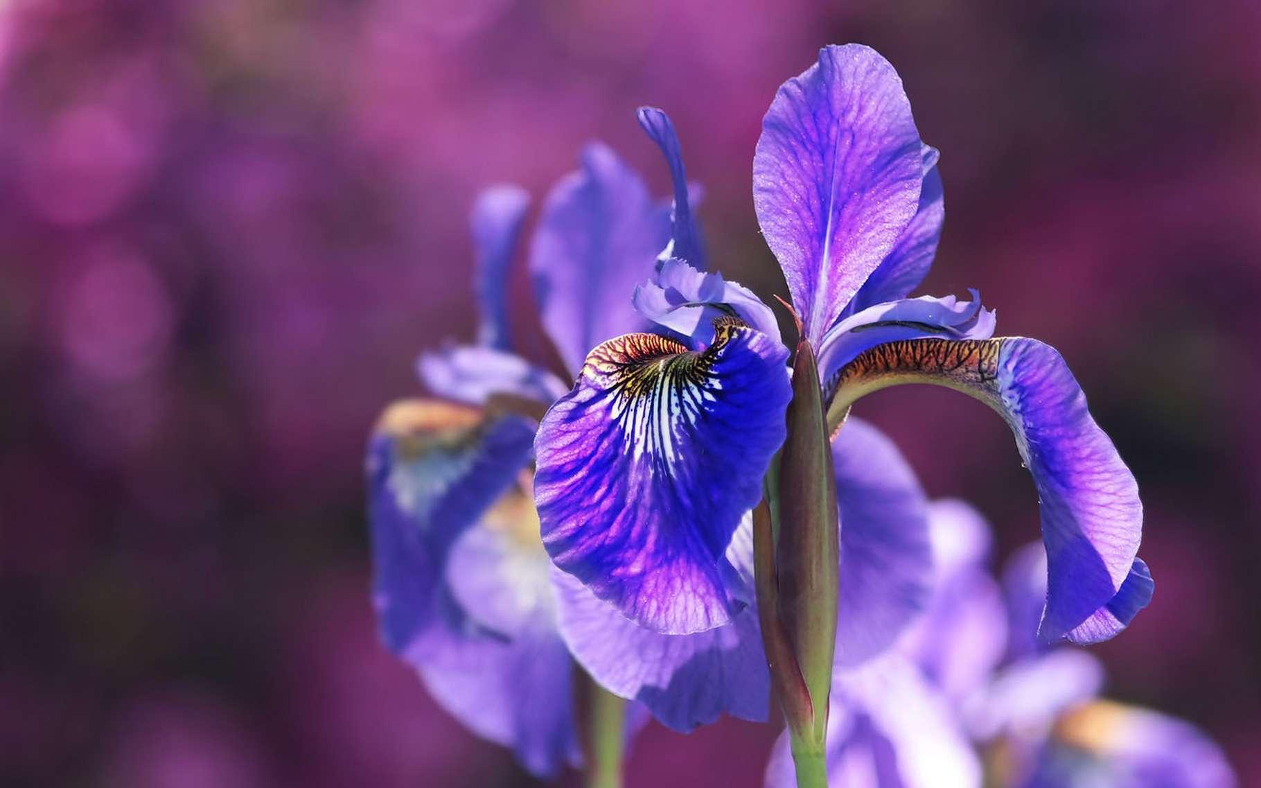 L'iris violet est très odorant. © Pixel2013, Pixabay, DP