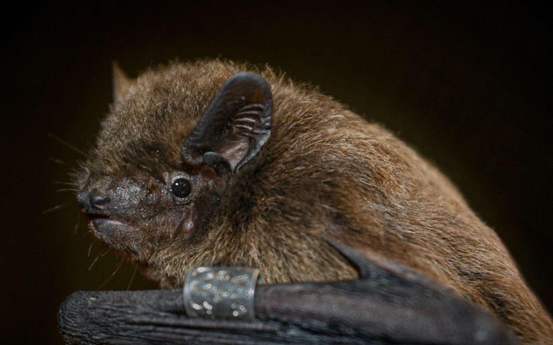 En étudiant des Pipistrelles de Nathusius, des chercheurs envisagent que leur sixième sens puisse reposer sur leur cornée. © Oliver Lindecke, Institut Leibniz pour la recherche sur la faune sauvage