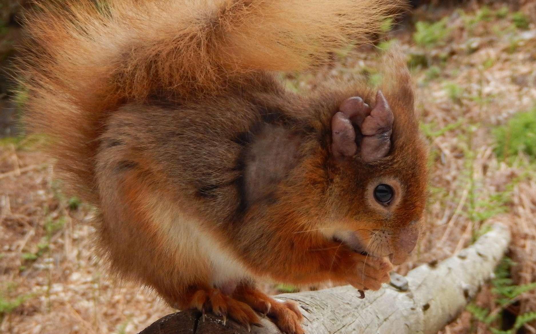 L'oreille de cet écureuil est attaquée par la lèpre. © Dorset Wildlife Trust, EPFL