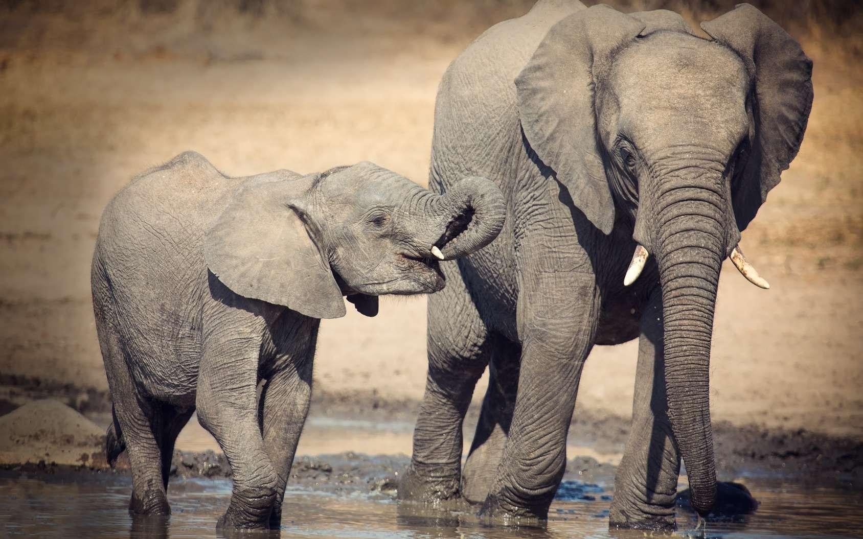Pourquoi la gestation des éléphants et celle des baleines sont-elles aussi longues ? Ici, un éléphanteau avec sa mère. Le bébé éléphant est pris en charge par sa mère pendant près de quatre ans. © Alta Oosthuizen, Fotolia