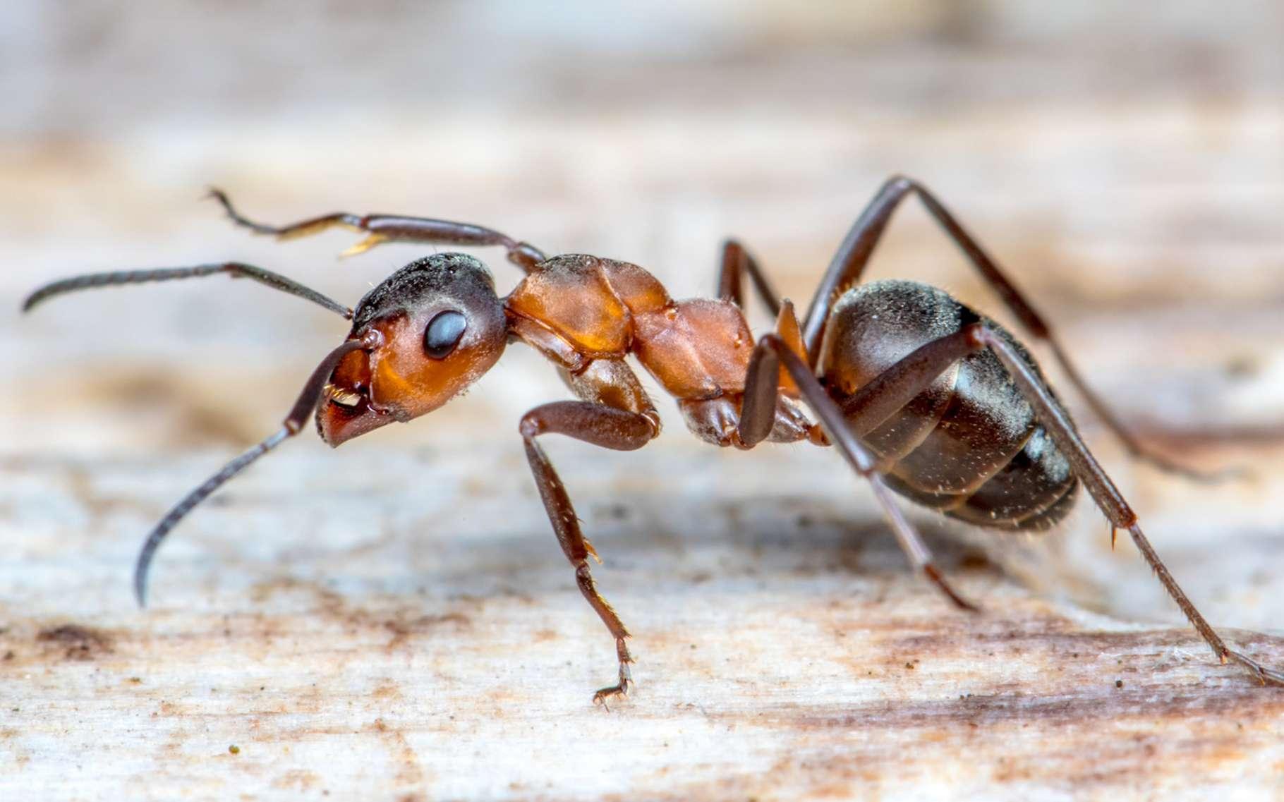 Comment les fourmis ont-elles acquis leurs muscles ? © Rainer Fuhrmann, Fotolia