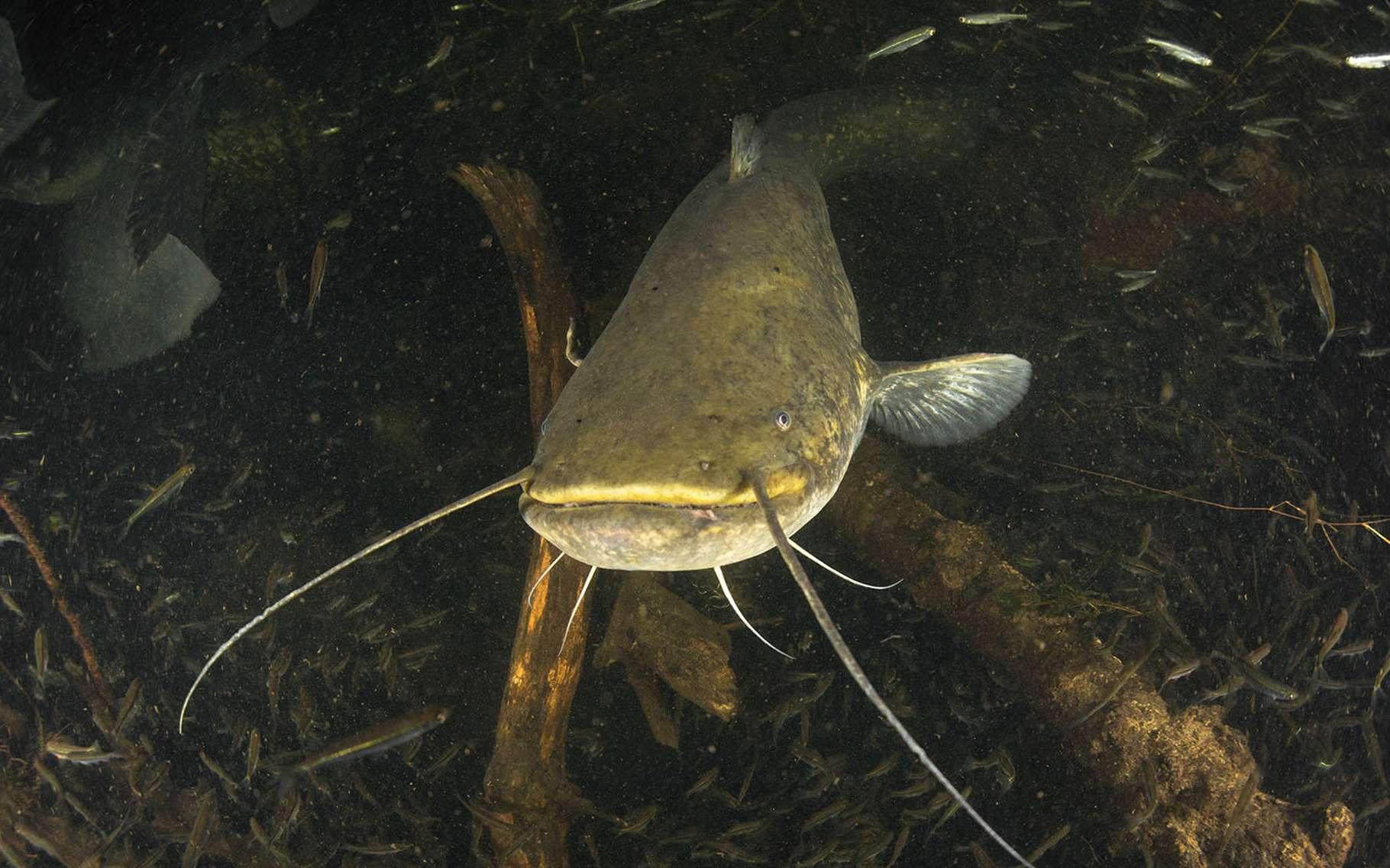 Le silure se distingue entre autres du poisson-chat par une paire de moustaches en moins et par sa taille bien supérieure. Le record actuel est de 2,74 mètres pour un silure capturé dans le Tarn en 2017. © Rémi Masson, tous droits réservés