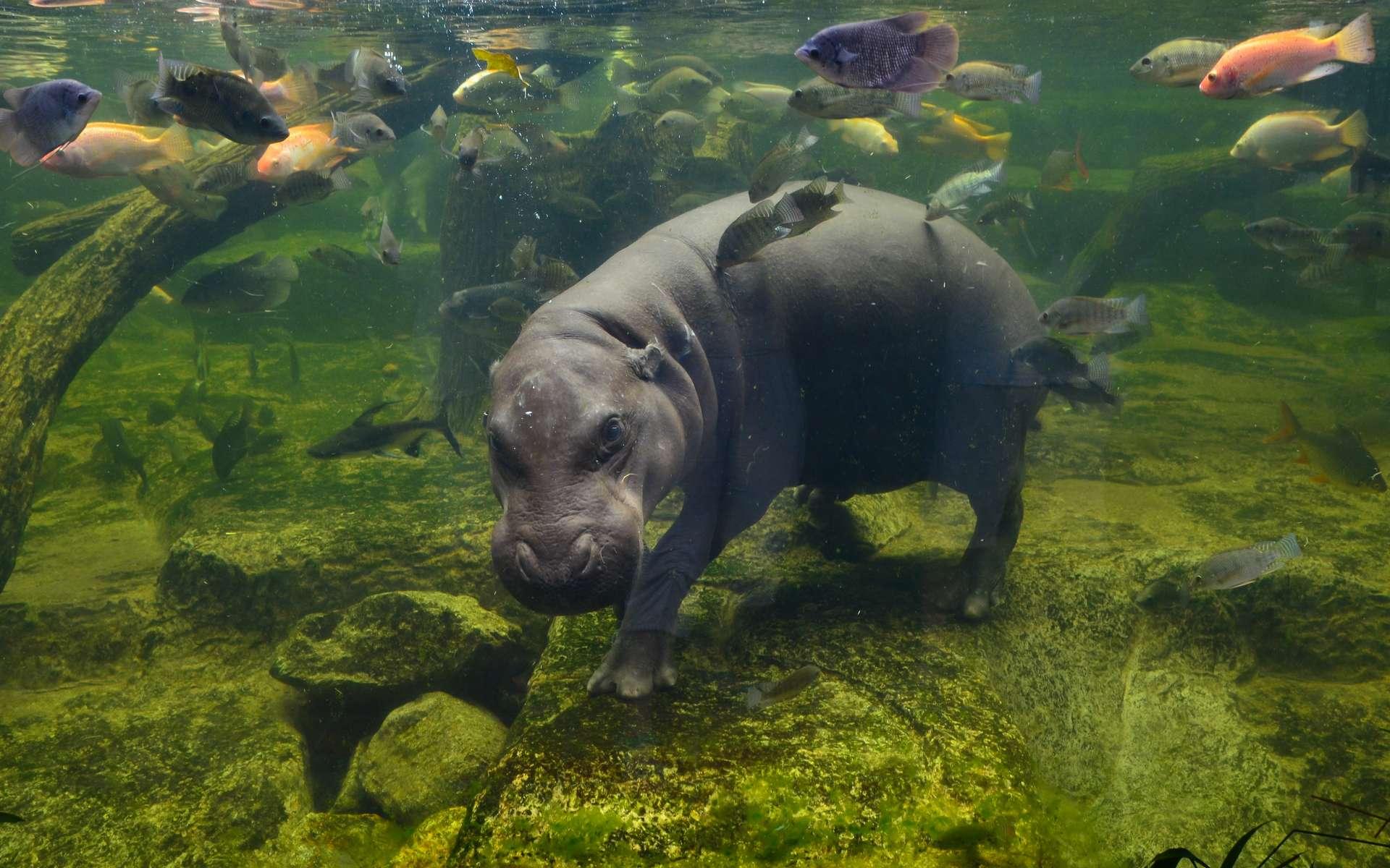 Les hippopotames pygmées de Madagascar étaient en compétition pour l'espace et pour la nourriture avec les chèvres domestiques. © Tatiana Grozetskaya, Adobe Stock