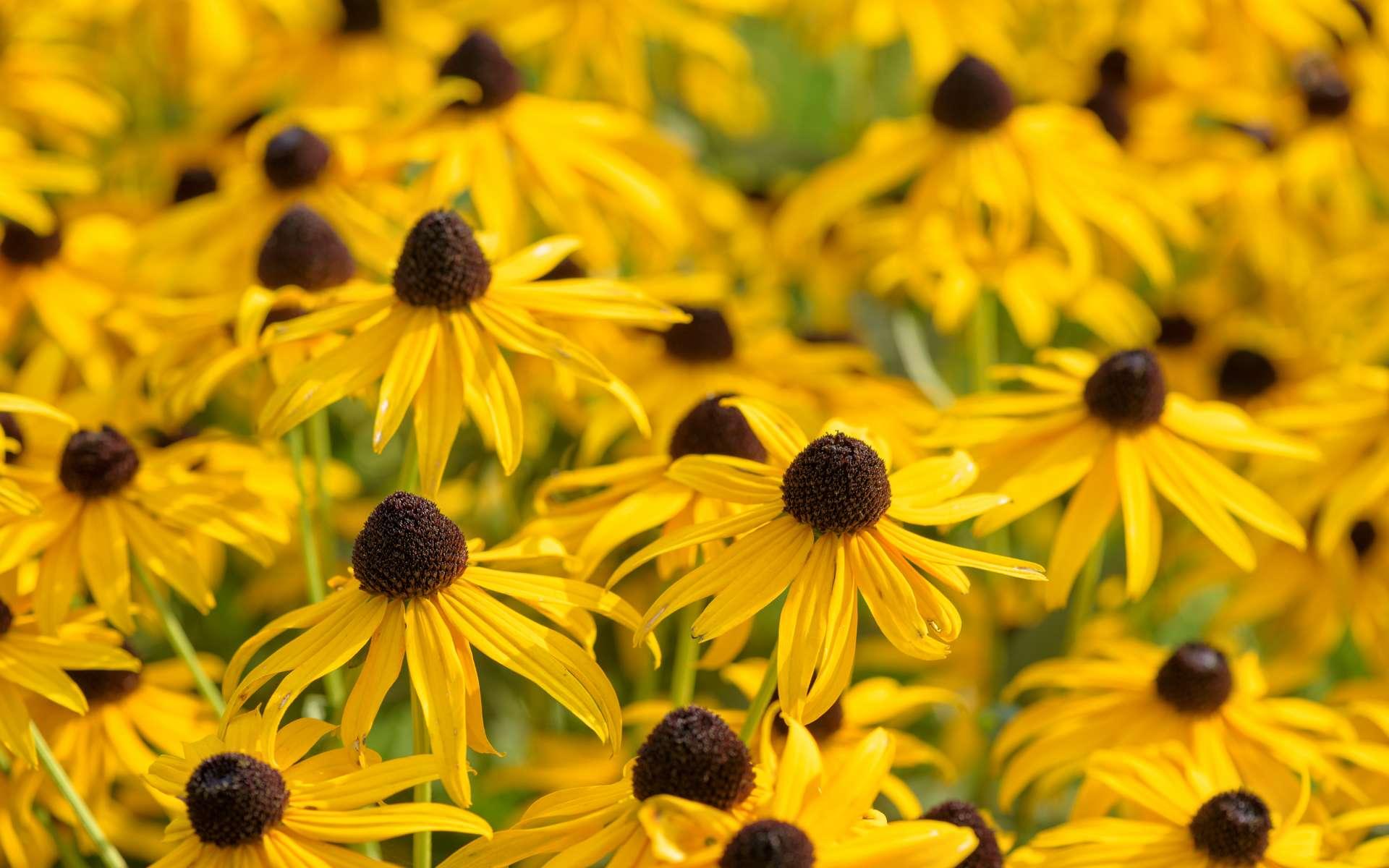 Les fleurs du rudbeckia aiment le soleil. En massif ou en bouquet, le rudbeckia jaune d'or au cœur noir est du plus bel effet. © Marek Walica, Adobe Stock