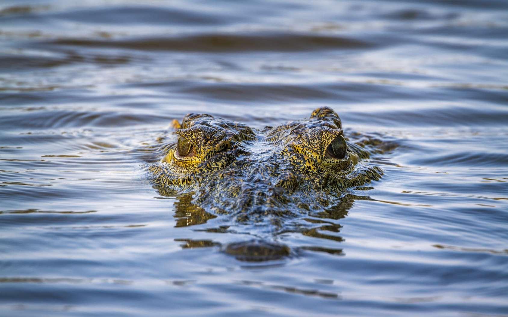 Un crocodile fossile géant a été baptisé Lemmy en hommage au leader de Motörhead. Ici, un crocodile du Nil d'aujourd'hui. Au Jurassique, ses lointains cousins peuplaient les terres émergées mais aussi les eaux côtières des continents. © Utopia, Fotolia