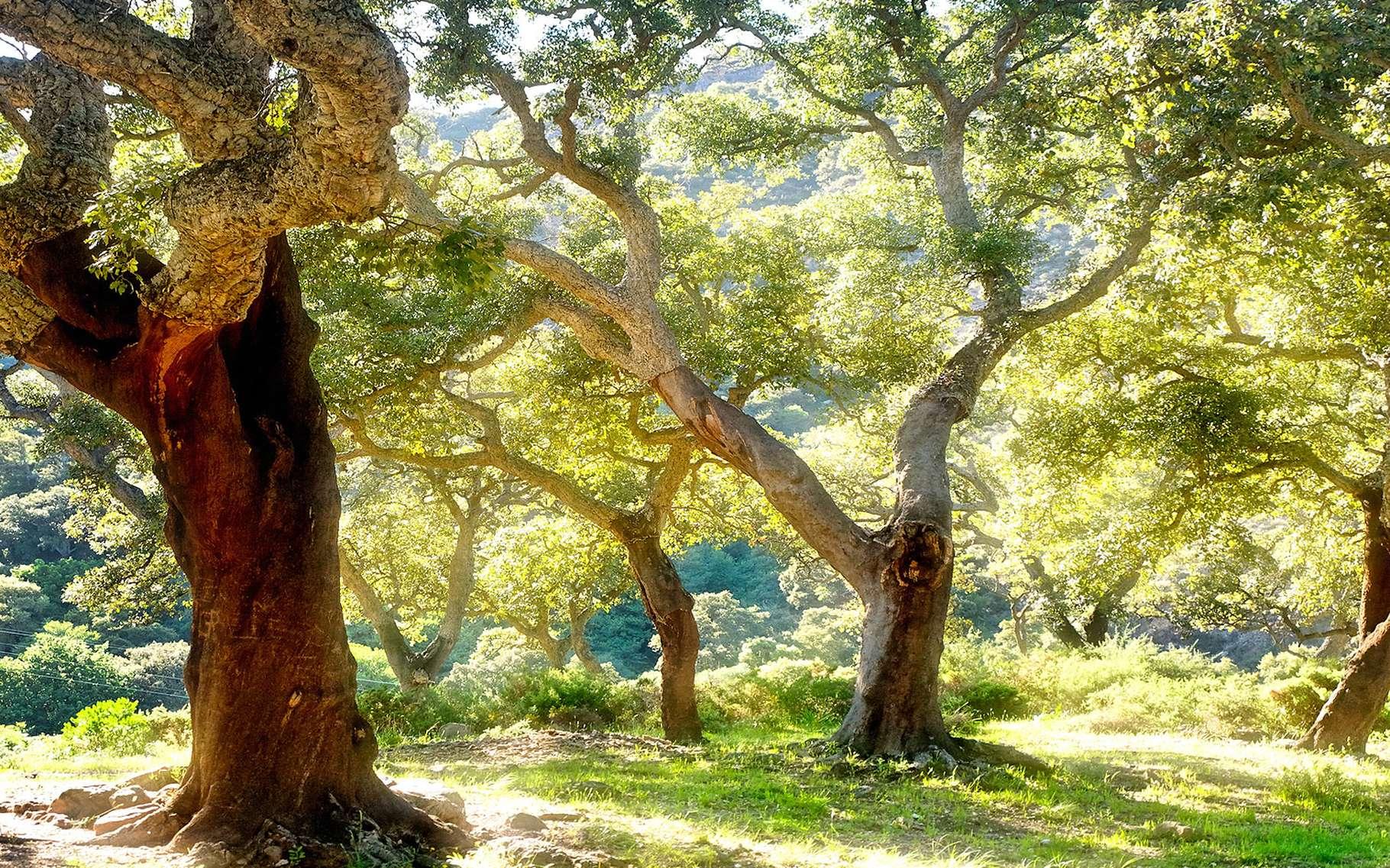 Tronc d'un chêne-liège. © treesoftheworld.net, CC by 3.0