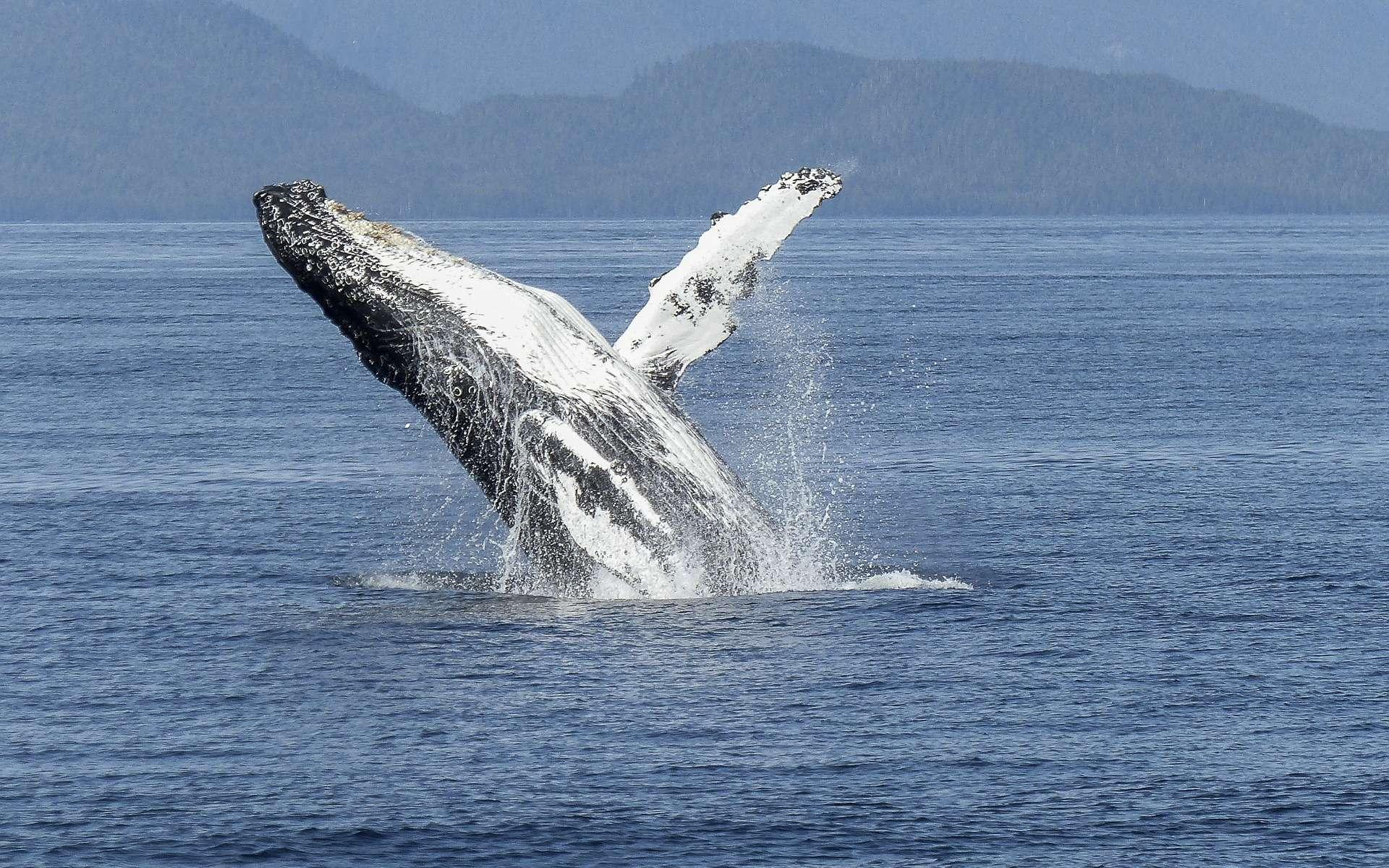 Après la mort de l'animal, les corps des cétacés (ici une baleine à bosse) rejoignent le plus souvent le fond de l'océan, où ils servent de nourriture à des petits écosystèmes. Durant leur vie, les excréments, eux, restent en surface et fertilisent les eaux superficielles. © werner22brigitte, Pixabay, DP
