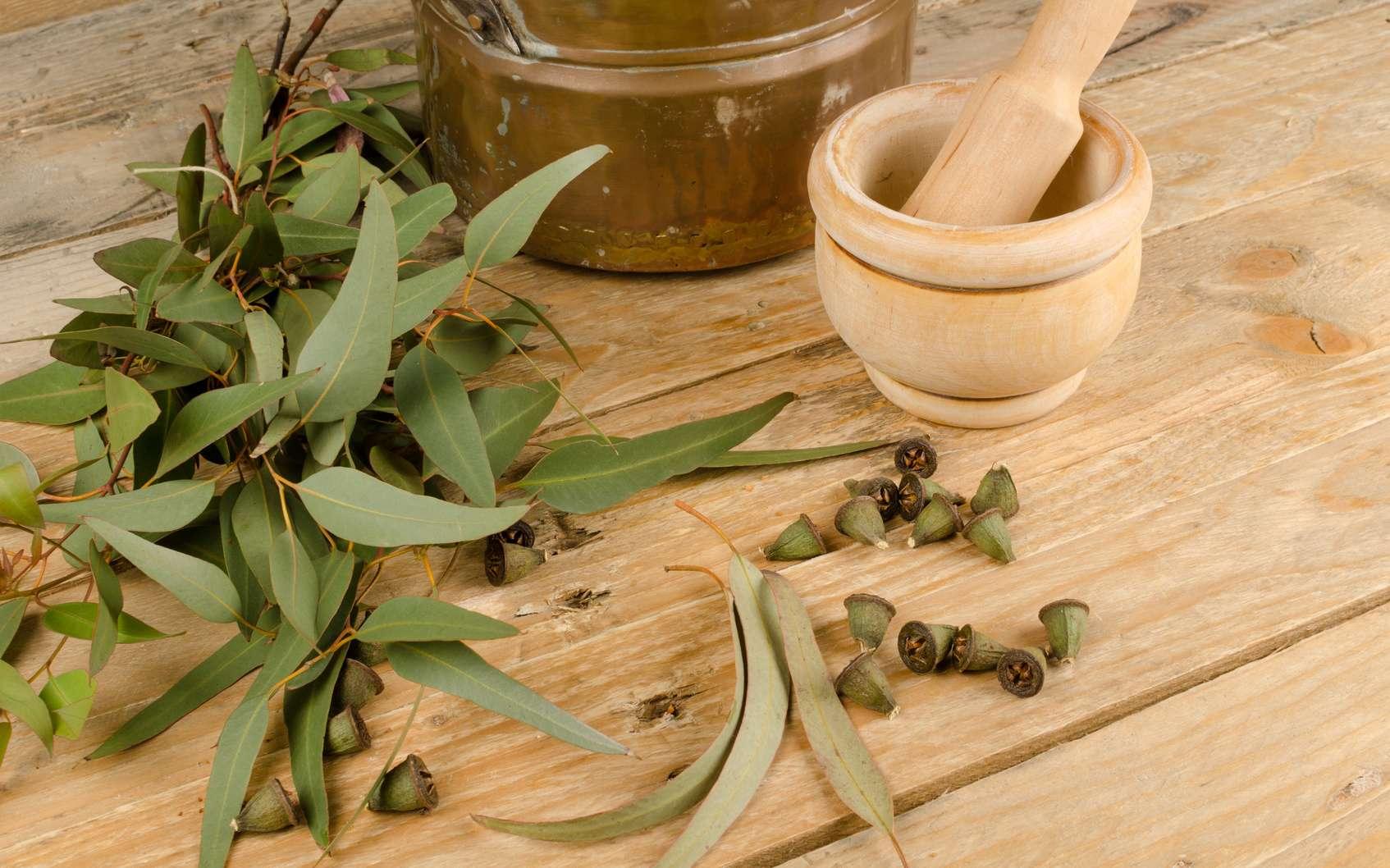 On surnomme également l'eucalyptus « l'arbre à fièvre », c'est dire à quel point ses vertus antivirales sont reconnues dans la mémoire populaire. © Olaf Speier, Fotolia