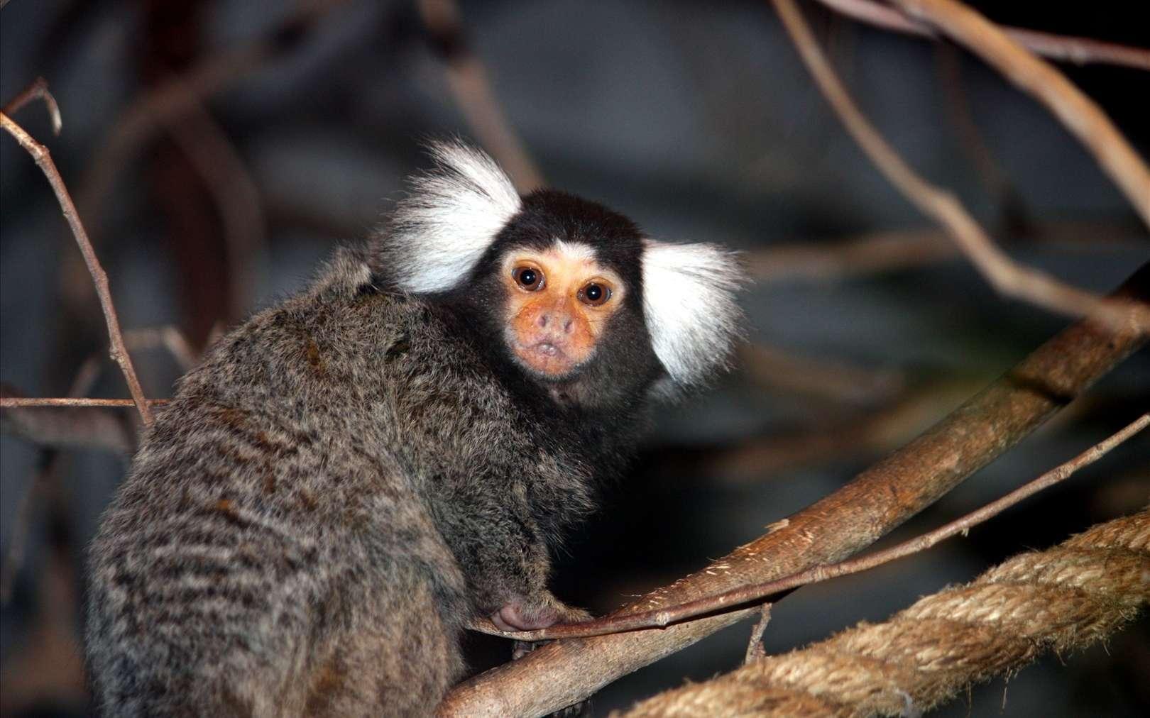 Les ouistitis sont de petits singes du Nouveau Monde qui communiquent énormément avec la voix, mais qui attendent que leur congénère se soit exprimé pour communiquer, afin que chacun puisse se faire entendre. © Son K Lee, Fotopédia, cc by nc 3.0