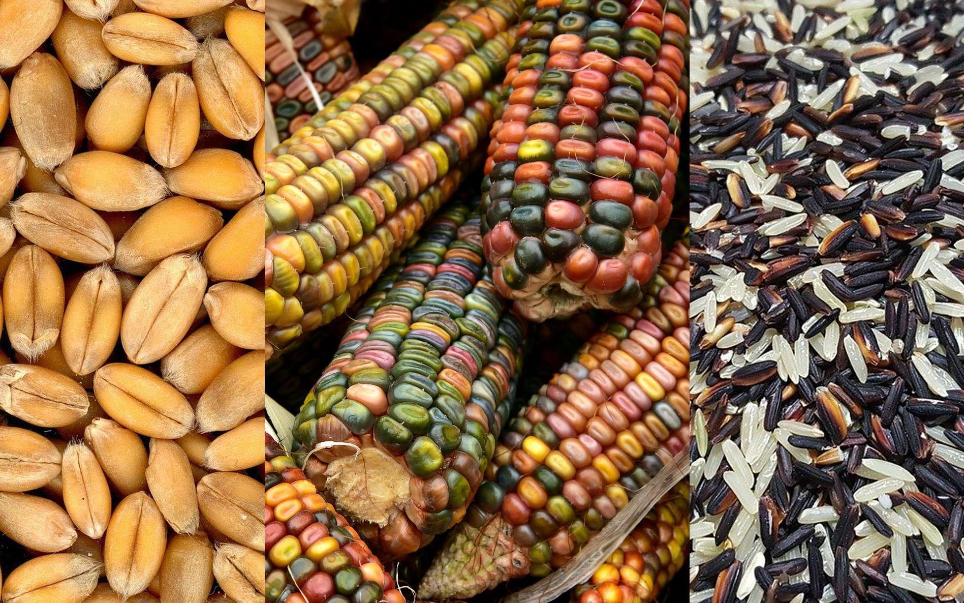 Les céréales les plus importantes, le blé, le maïs, le riz. © Klaber, Ulleo, Pasrassa, Pixabay, DP