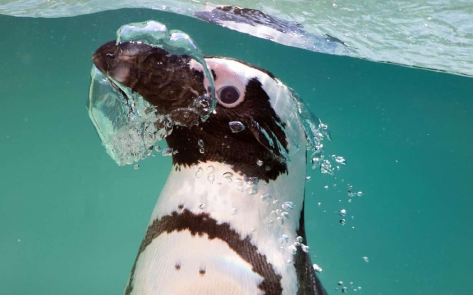 Les manchots du Cap ont le chic pour remonter des profondeurs des petits poissons. © Tiziana Fabi - AFP/Archives