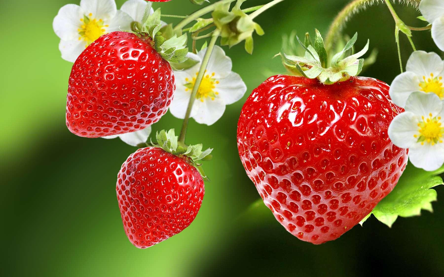 La partie rouge de la fraise n'est pas le fruit du fraisier au sens botanique. © red150770, Adobe Stock