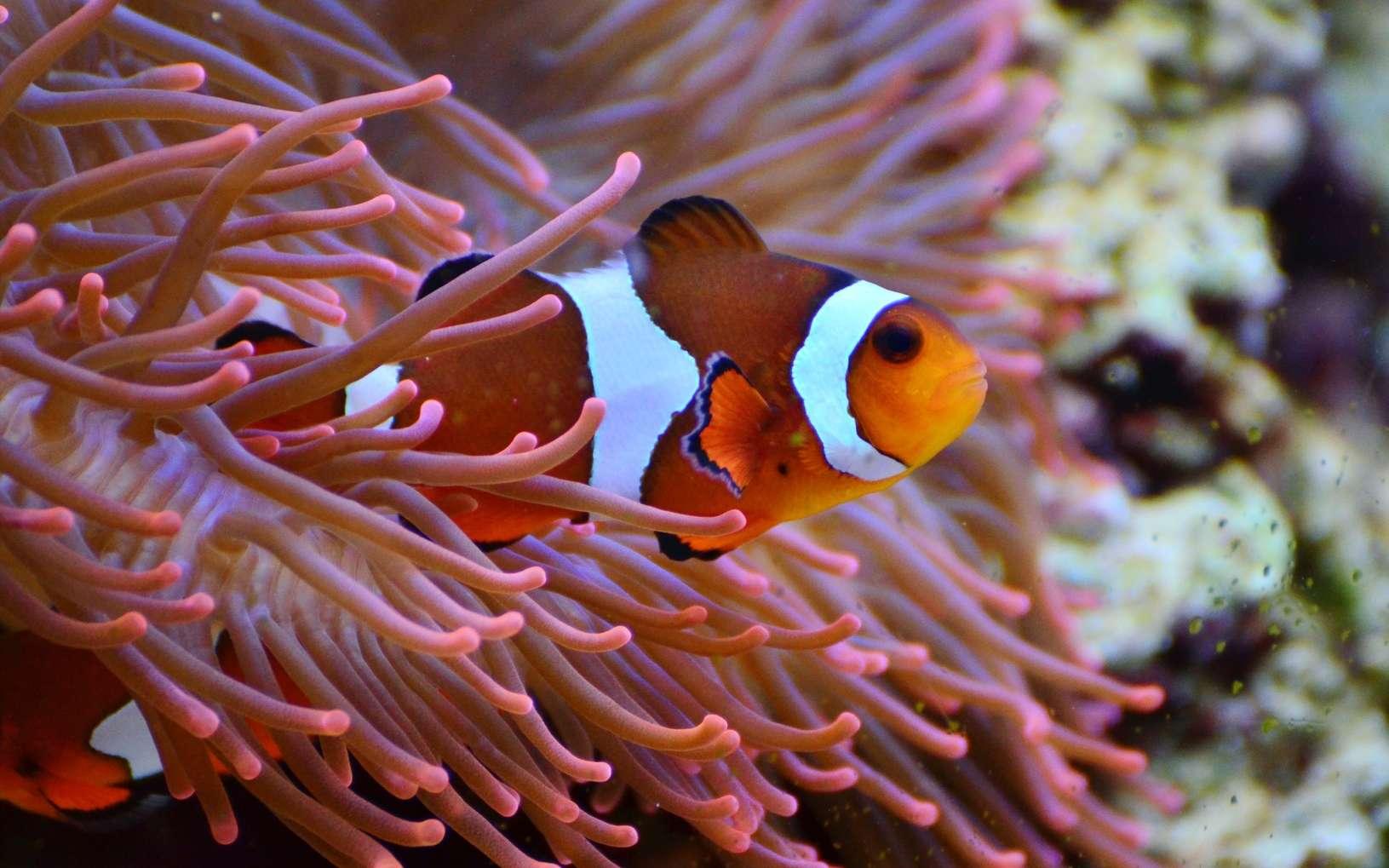 La pollution lumineuse menace l'éclosion des poissons-clowns. © Pxhere, domaine public, CC0