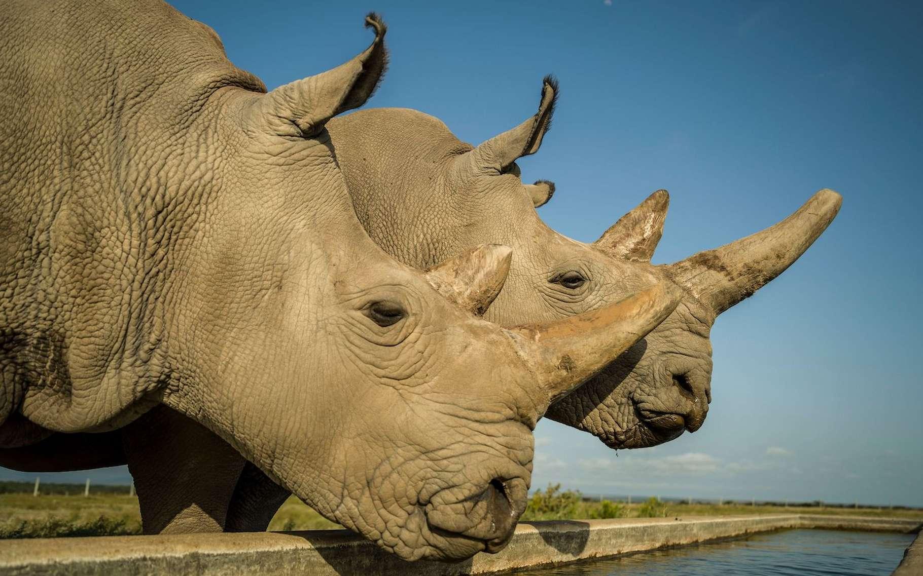 Najin, à gauche, et Fatu, à droite, sont les dernières survivantes d'une espèce de rhinocéros, les rhinocéros blancs du Nord. Elles viennent de donner leurs ovocytes et les chercheurs, après être parvenus à les féconder, espèrent pouvoir ressusciter l'espèce. © Elodie Sampere, Ol Pejeta Conservancy