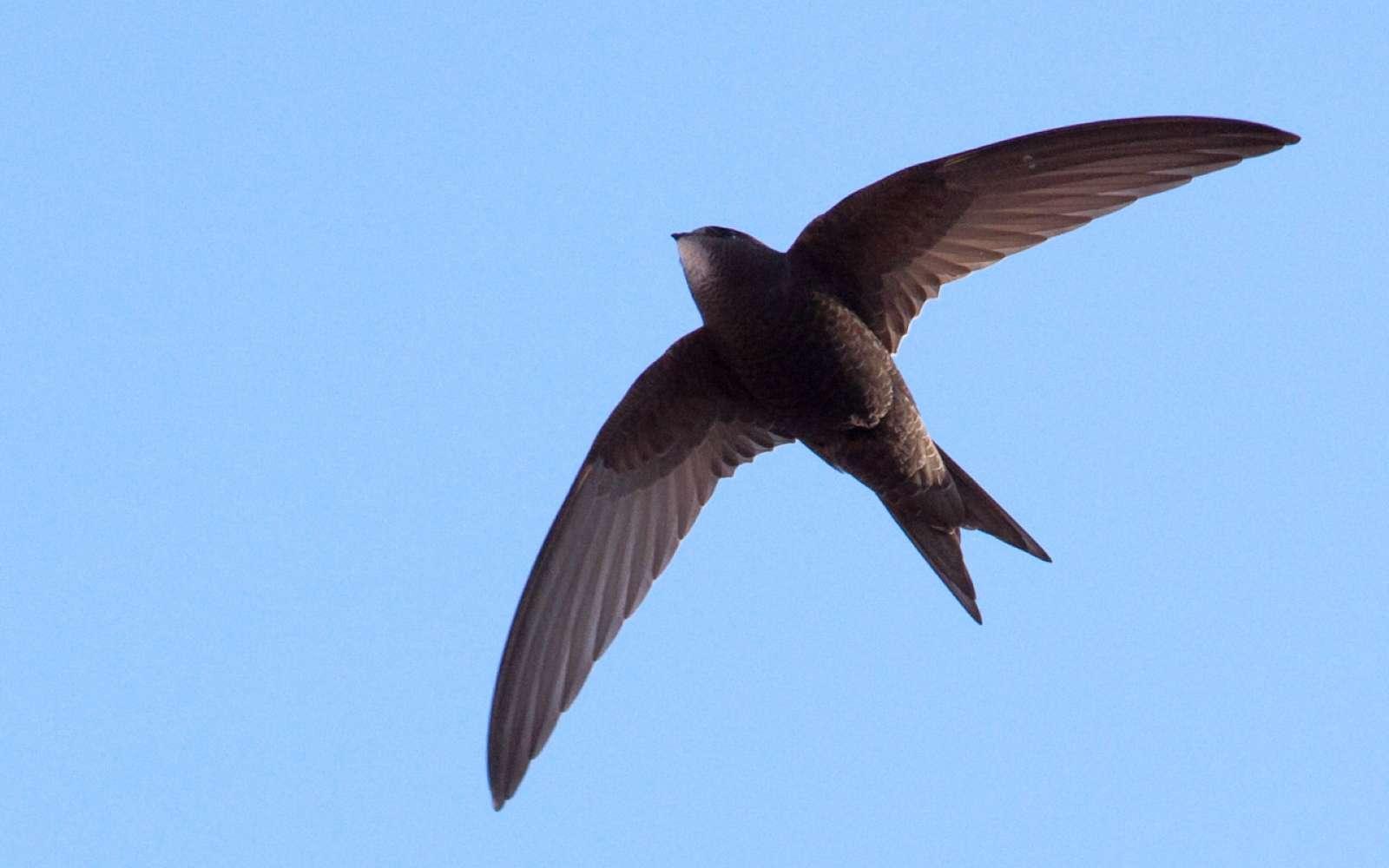 Le martinet est l'un des oiseaux les plus habiles en voltige. Le secteur de l'aéronautique cherche à s'en inspirer depuis longtemps pour optimiser les aéronefs. © Snowmanradio, Wikipédia, CC by-sa 2.0