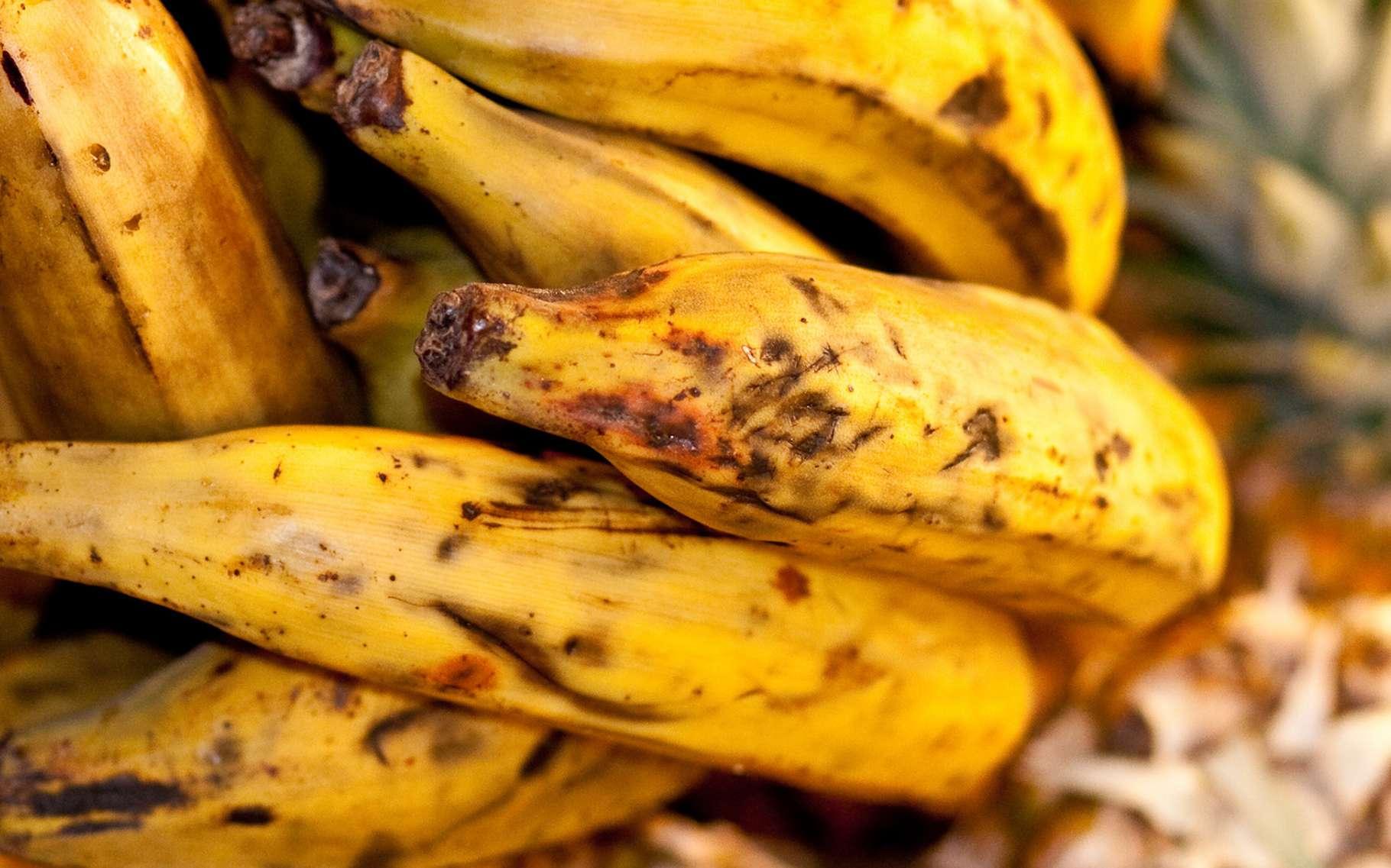 Les bananes noircies ne sont pas du goût de tout le monde. Derrière cette couleur peu avenante, une réaction chimique. © FineBokeh, Fotolia