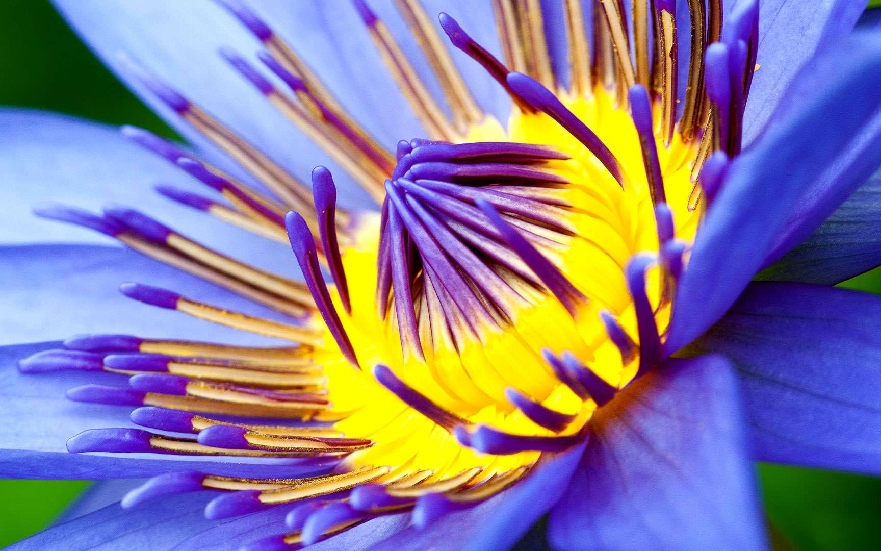 Le nénuphar, une plante flottante aux fleurs solitaires. Plante aquatique bien connue, le nénuphar, ou nénufar, se caractérise par de longues feuilles arrondies flottantes et par de magnifiques fleurs solitaires. Elle se développe dans les eaux dormantes à partir d'une souche enracinée dans le fond. Origine : Europe. © Orlando Dus, Flickr, CC by-nc-nd 2.0