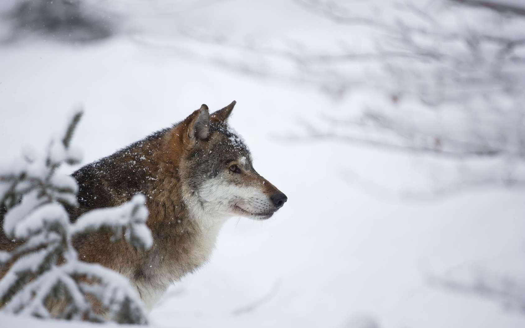 Les loups gris ont été réintroduits dans le parc de Yellowstone en 1995. © hitman1234, Fotolia