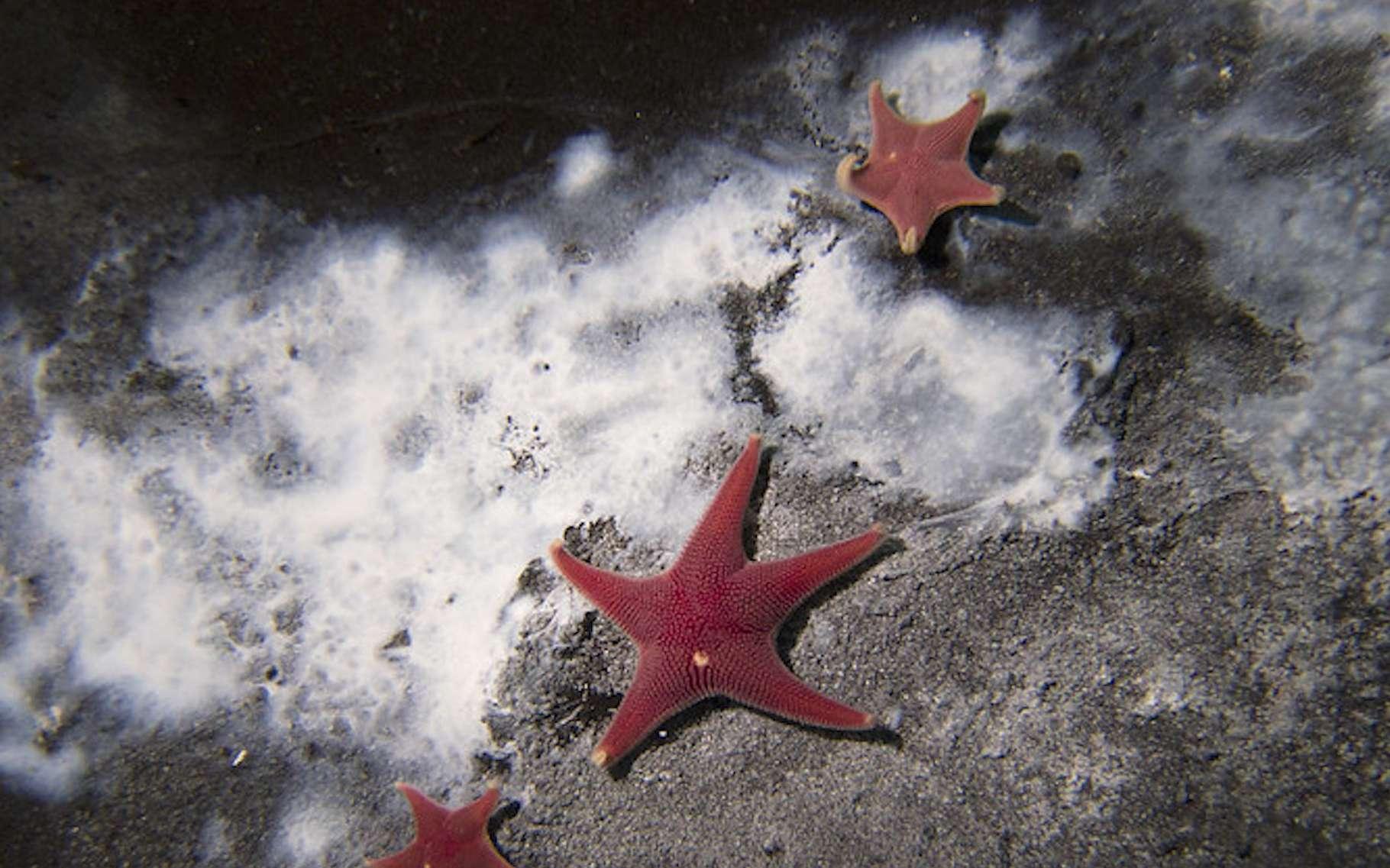 Des chercheurs l'université de l'État de l'Oregon (États-Unis) viennent de mettre au jour une fuite de méthane (CH4) en Antarctique. Une fuite autour de laquelle se rassemblent ses étoiles de mer et des microbes qui consomment une partie du méthane. © Andrew Thurber, Université de l'État de l'Oregon