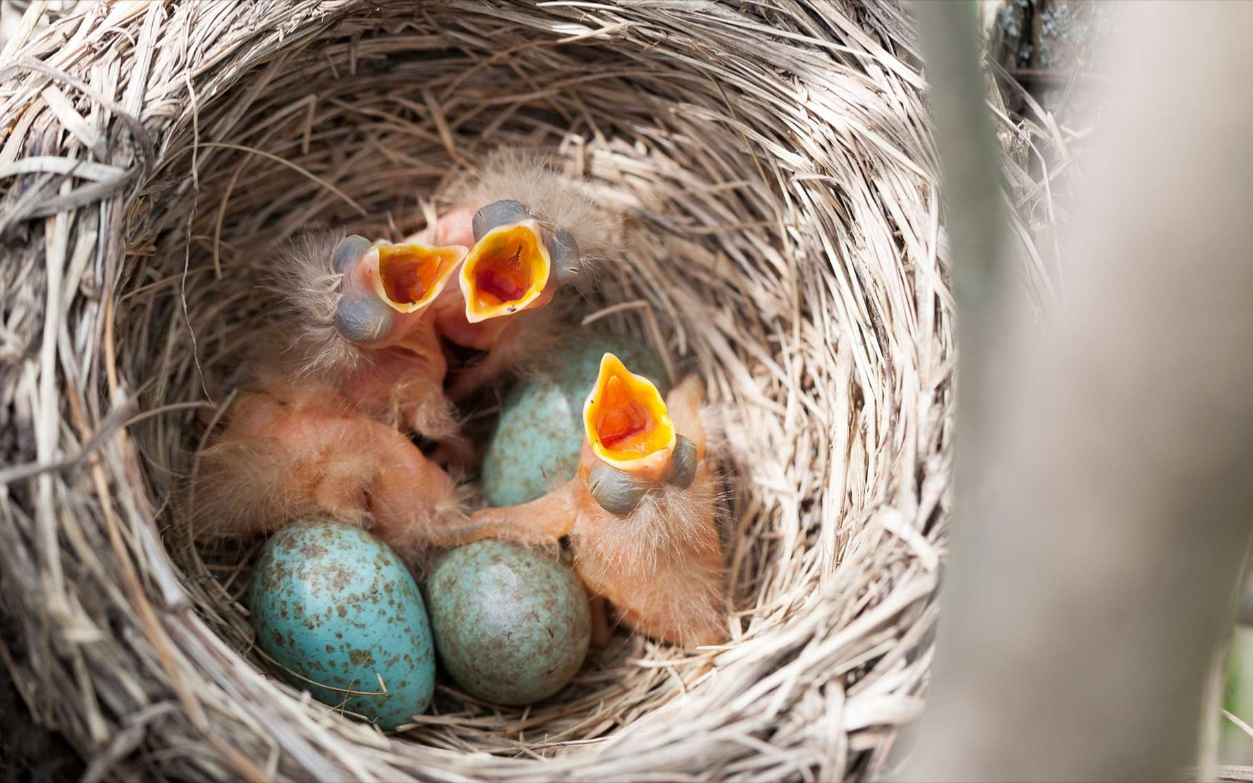Un oisillon peut tomber du nid, parce qu'il a été poussé ou parce qu'il a voulu partir en exploration. © Vishnevskiy Vasily, Shutterstock