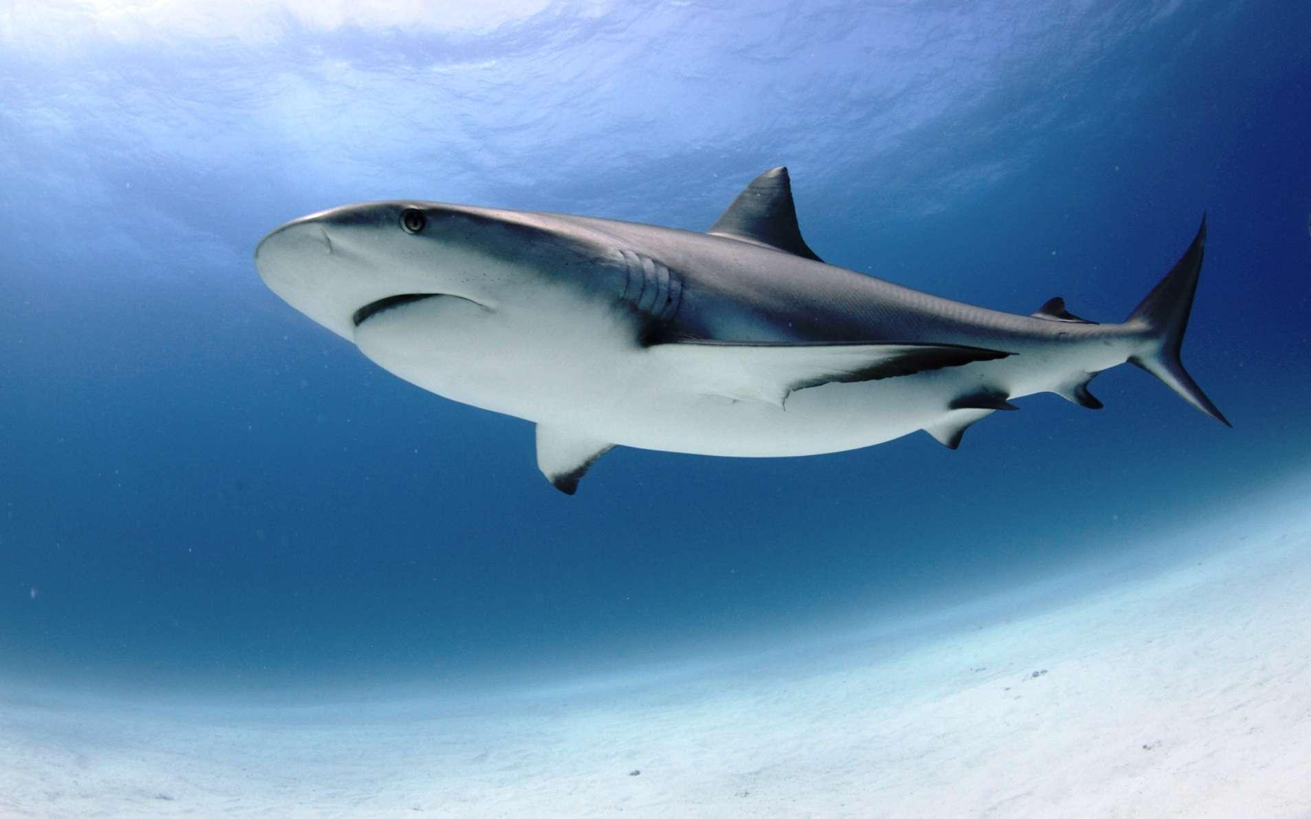 Une dent ayant appartenu à un requin similaire à celui présent sur cette photo a été découverte dans des sédiments datant du Miocène dans le bassin de l'Amazonie. © Gaby Carías Tucker and Alberto Blanco Dávila