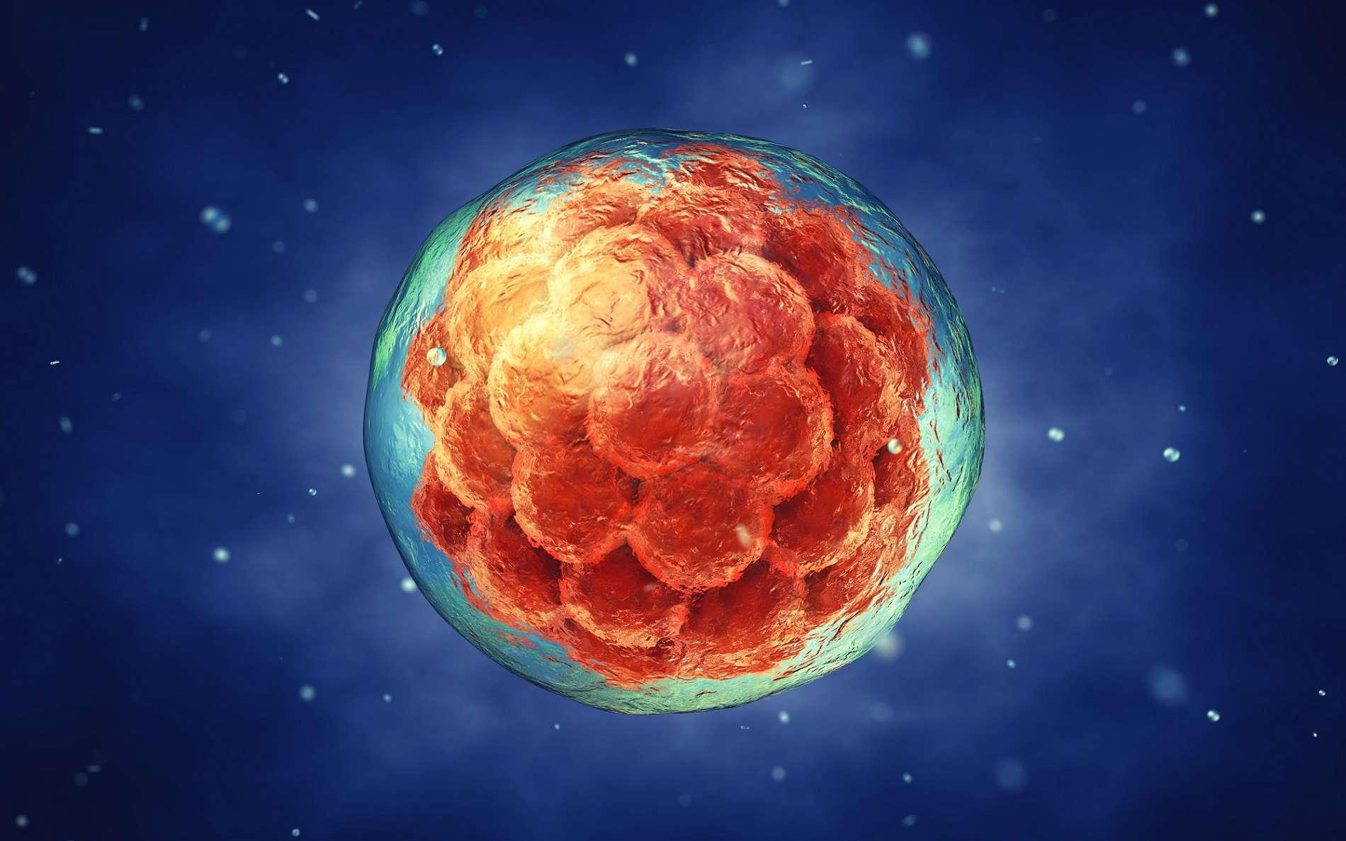 Les cellules d'un embryon sont capables de donner tous les types cellulaires : ce sont des cellules souches pluripotentes. © nobeastsofierce, Shutterstock